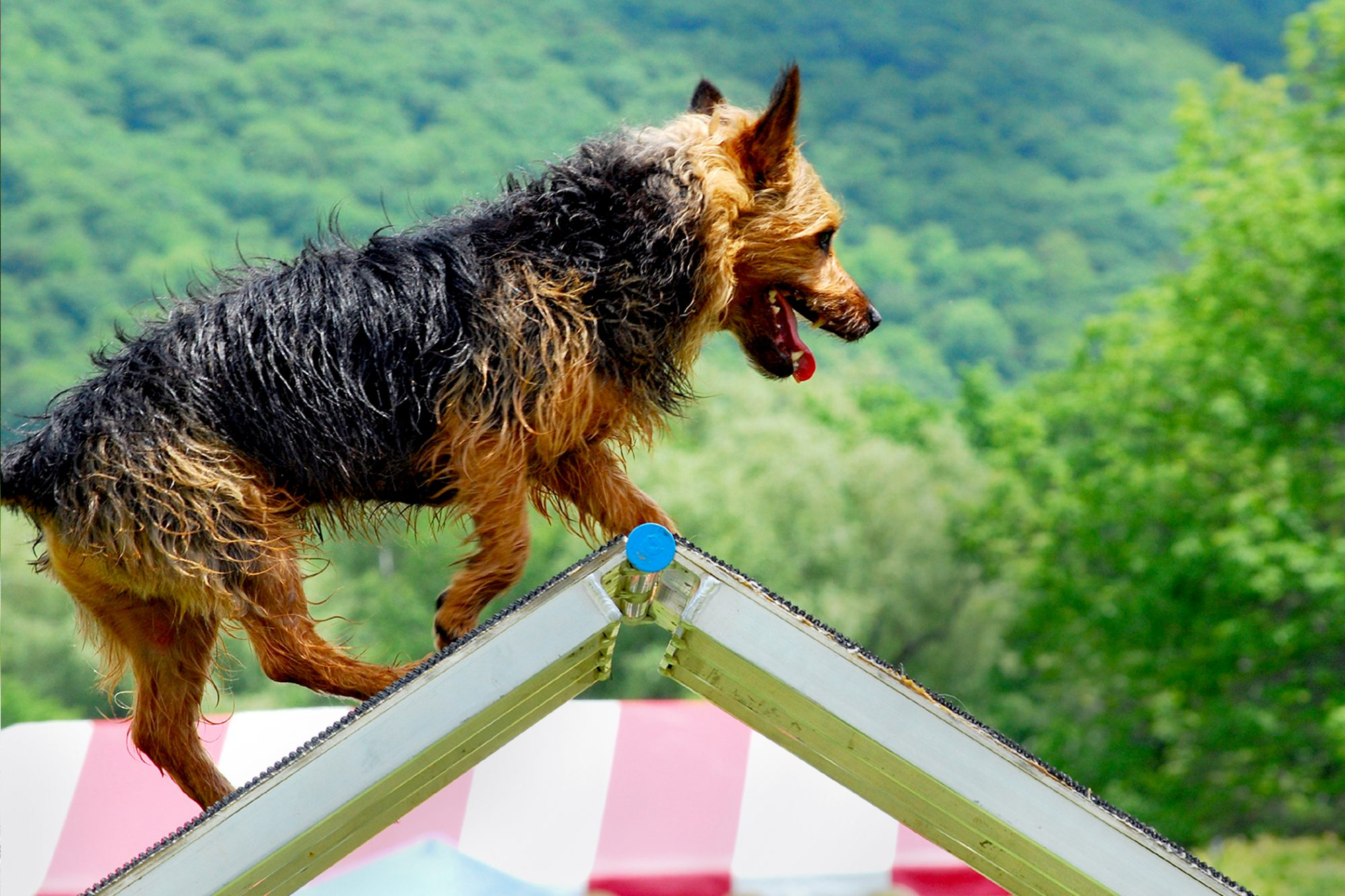 Black and tan Norwich terrier climbs agility ramp
