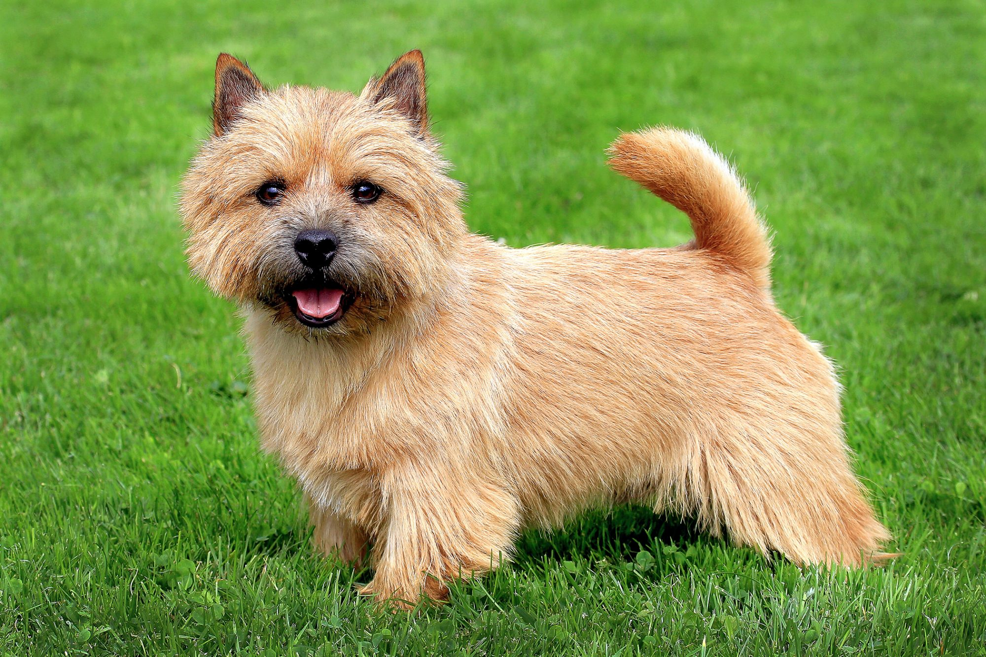 Long-haired tan Norwich terrier stands in grass and looks at camera