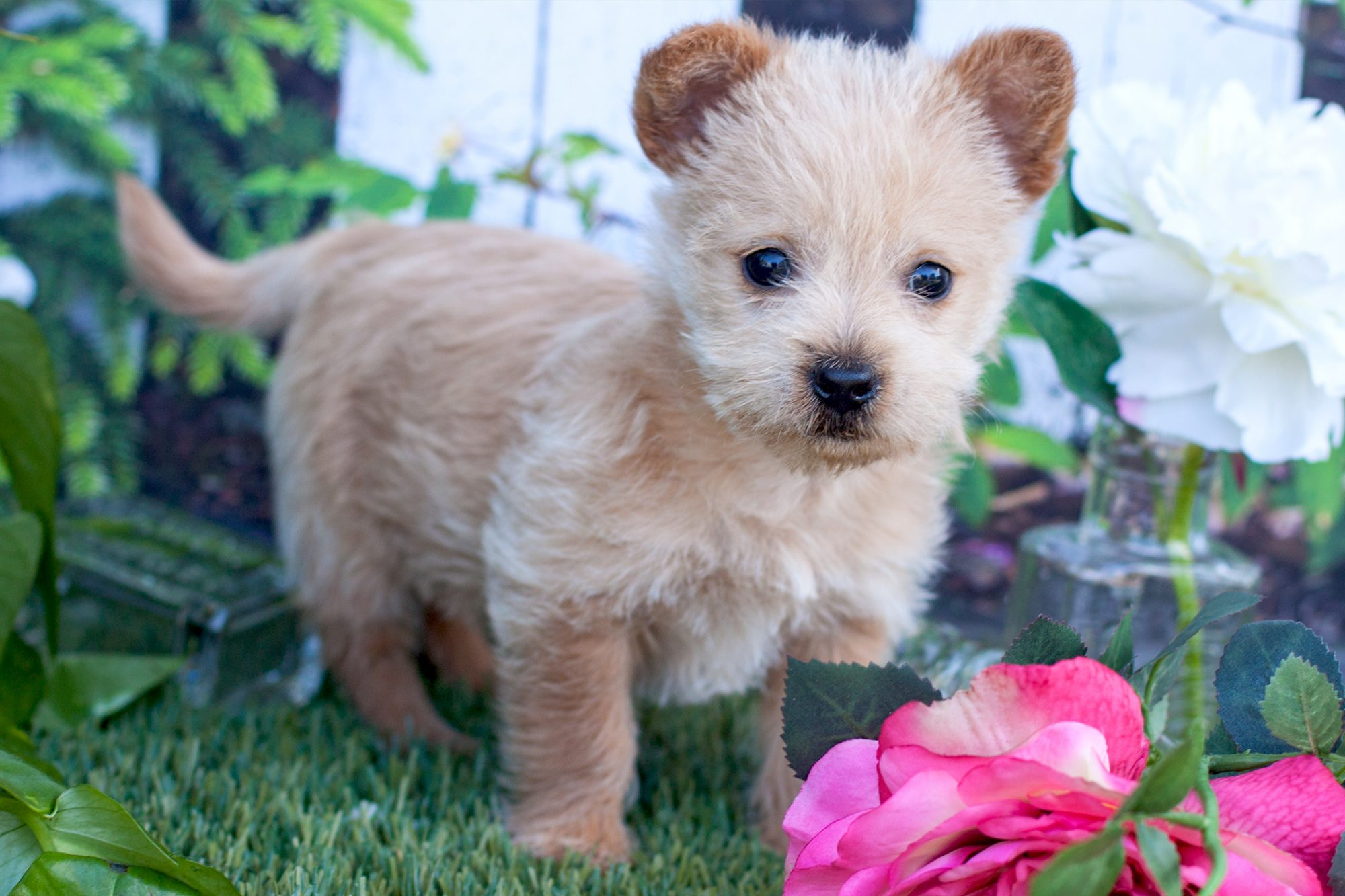 Strawberry blond Norwich Terrier stands among pink and white flowers