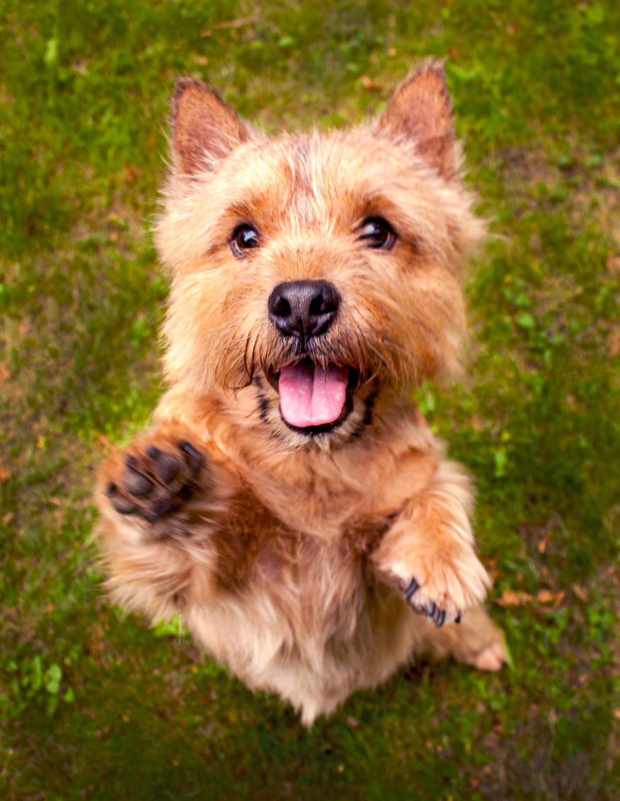 Strawberry blonde adult Norwich terrier jumps up to greet camera outside