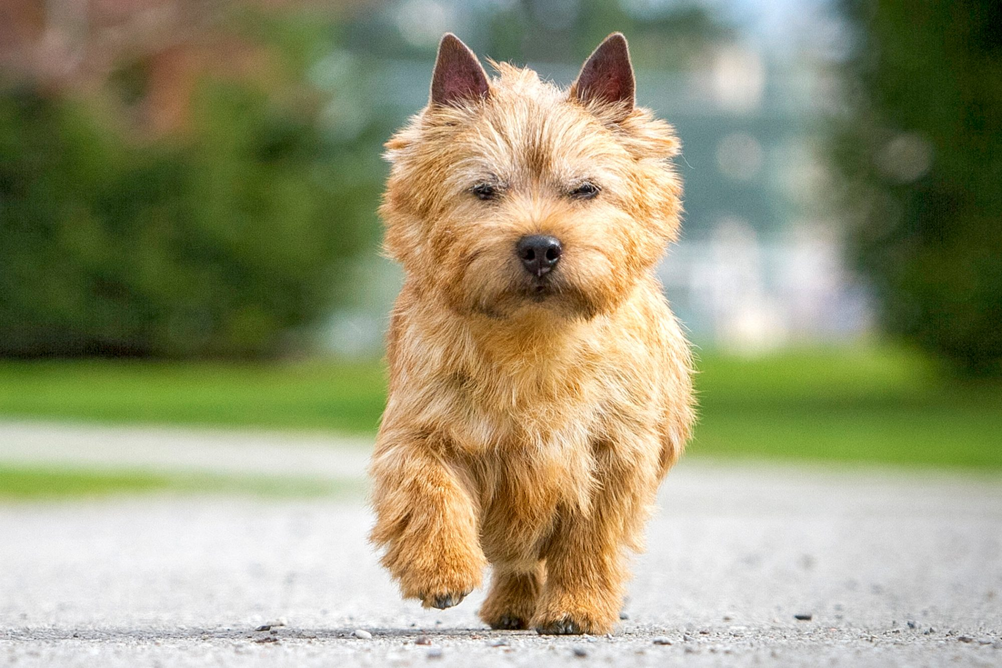 Sandy long-haired norwich terrier walks down paved street toward camera