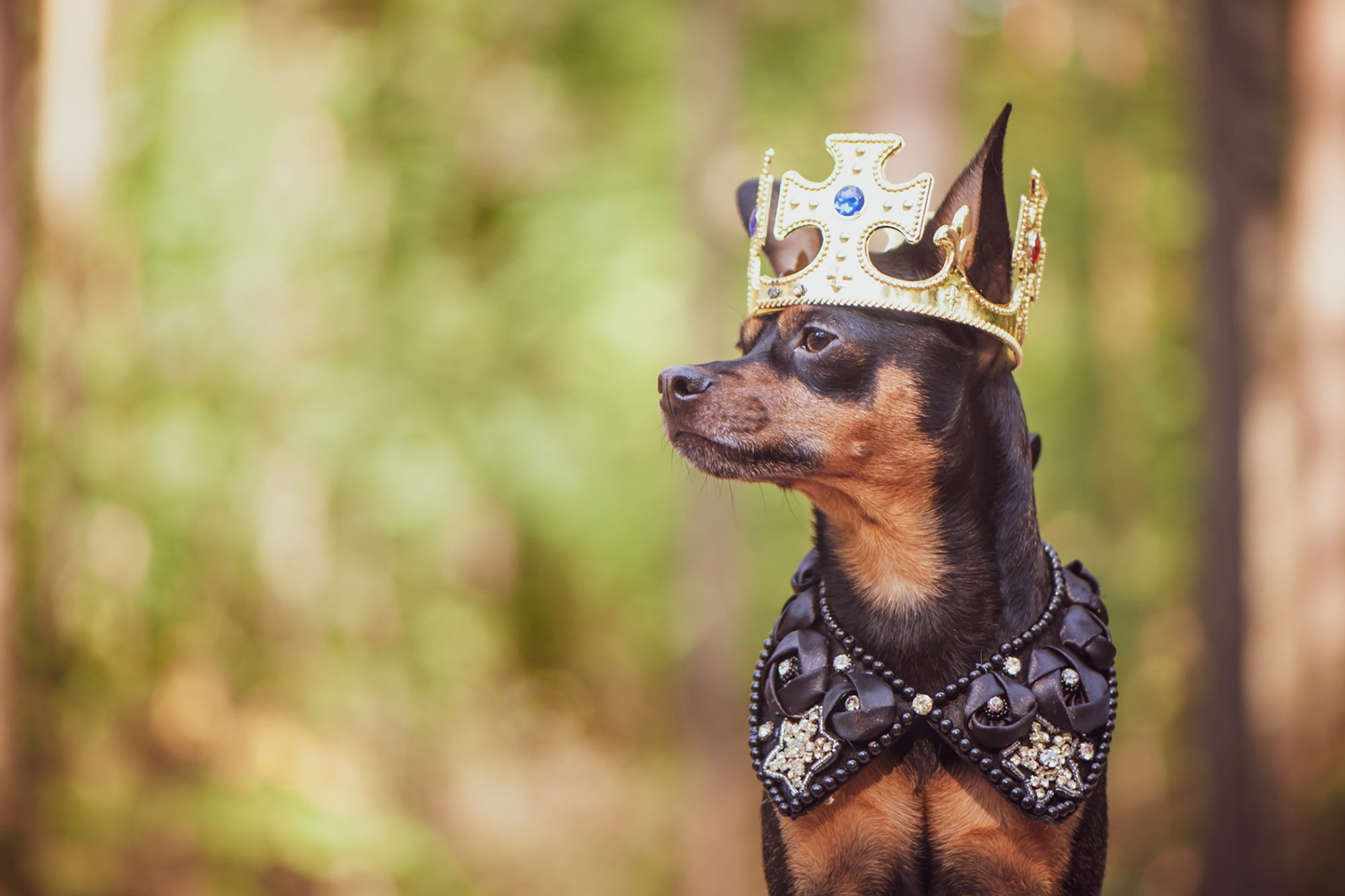 Profile shot of black and tan terrier wearing a crown and bejeweled cape against a forest background