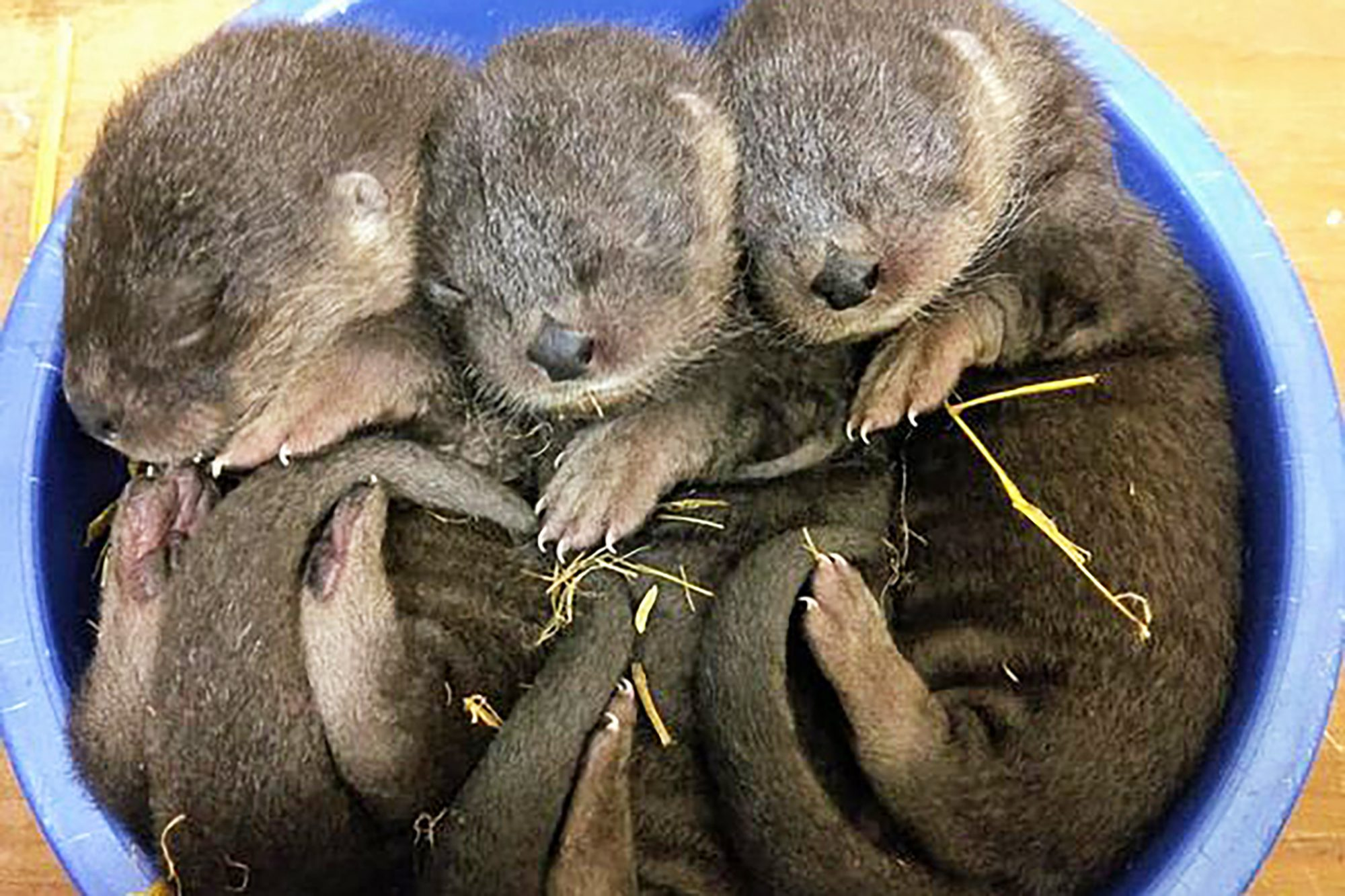 three newborn otters
