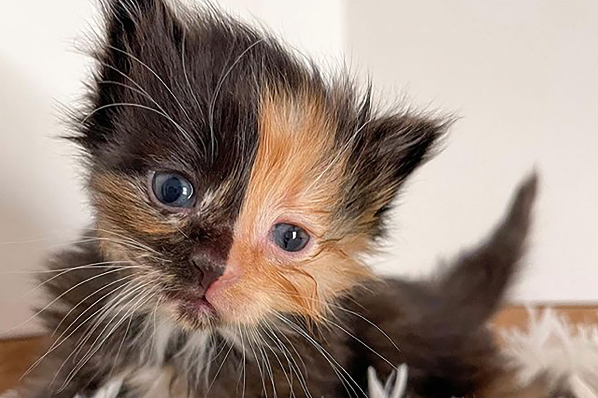 Two-toned kitten close-up (orange and dark brown)