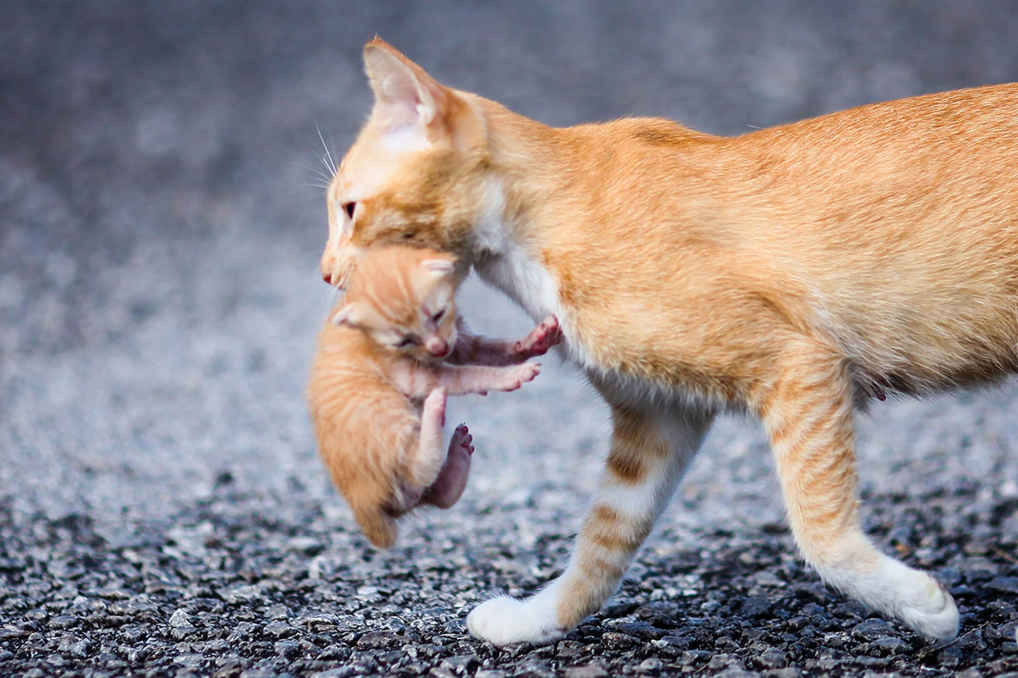 orange tabby carrying kitten