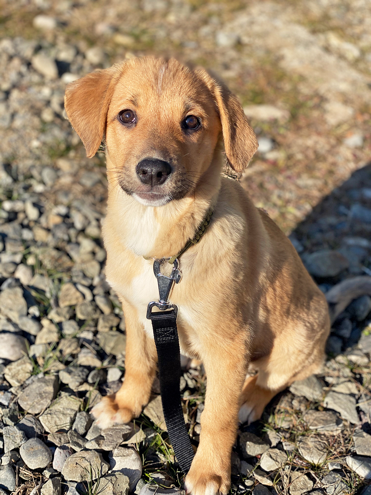 Blonde lab puppy sits on rocks with black leash attached to collar