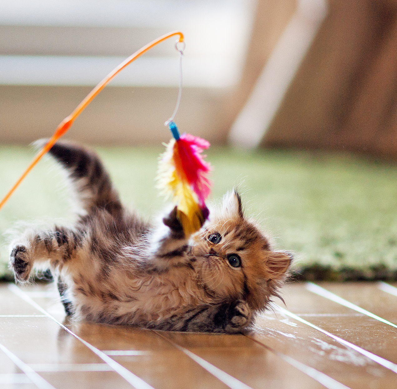 Persian kitten plays with dangling toy on wood floor