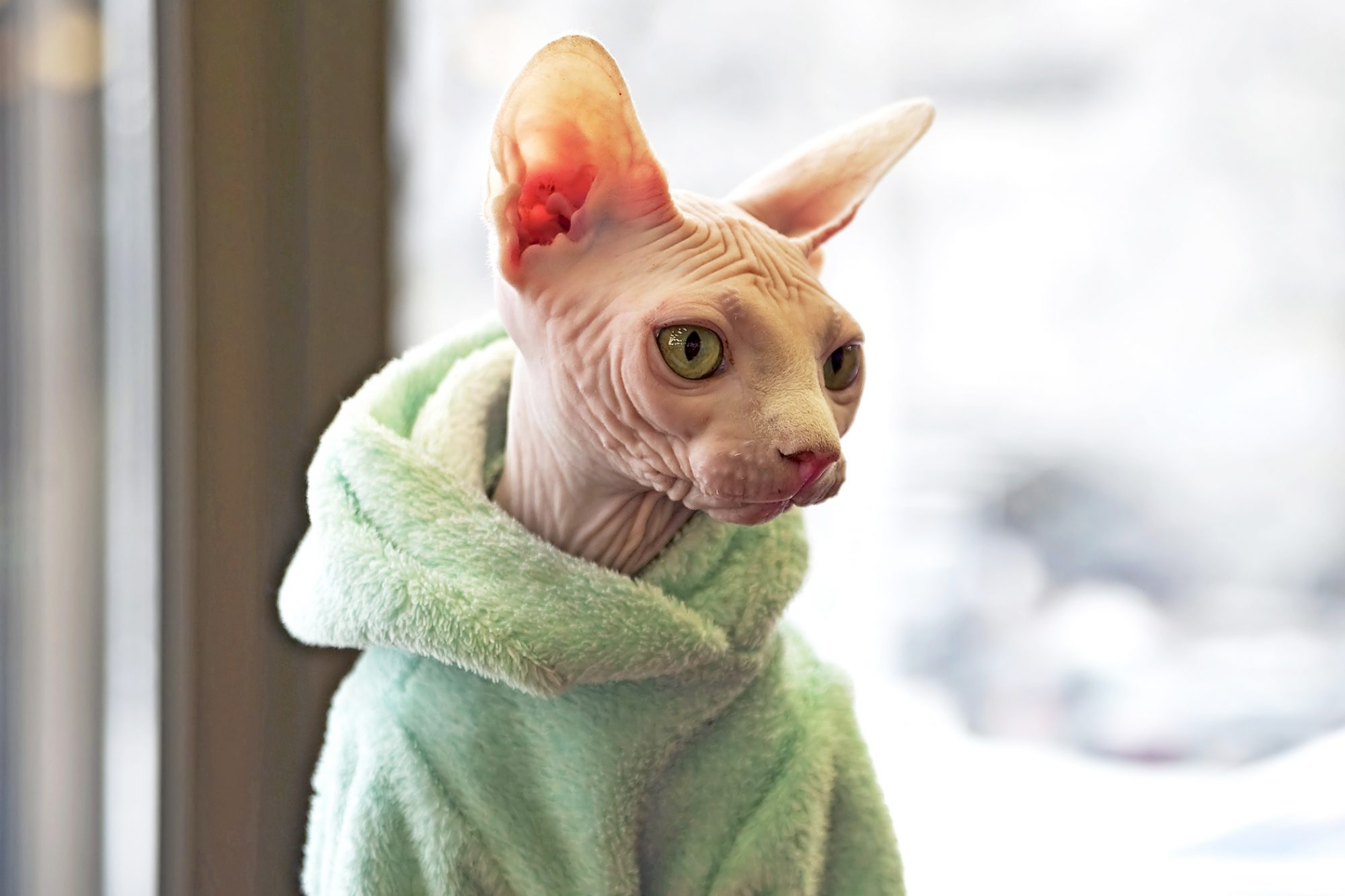 Peach sphynx cat wrapped up in green fluffy robe