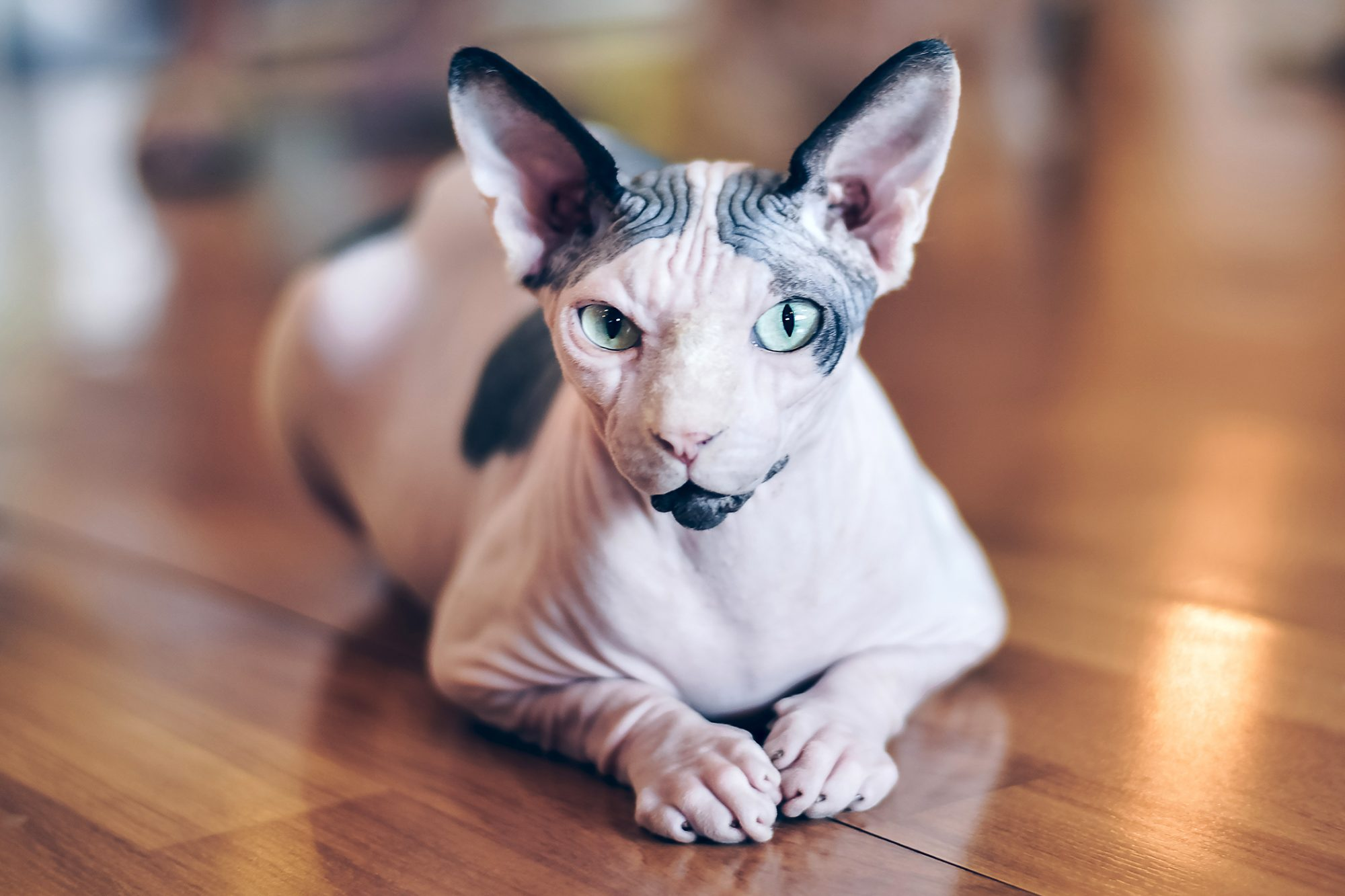 Spotted sphynx cat lays on hardwood floor and looks at camera