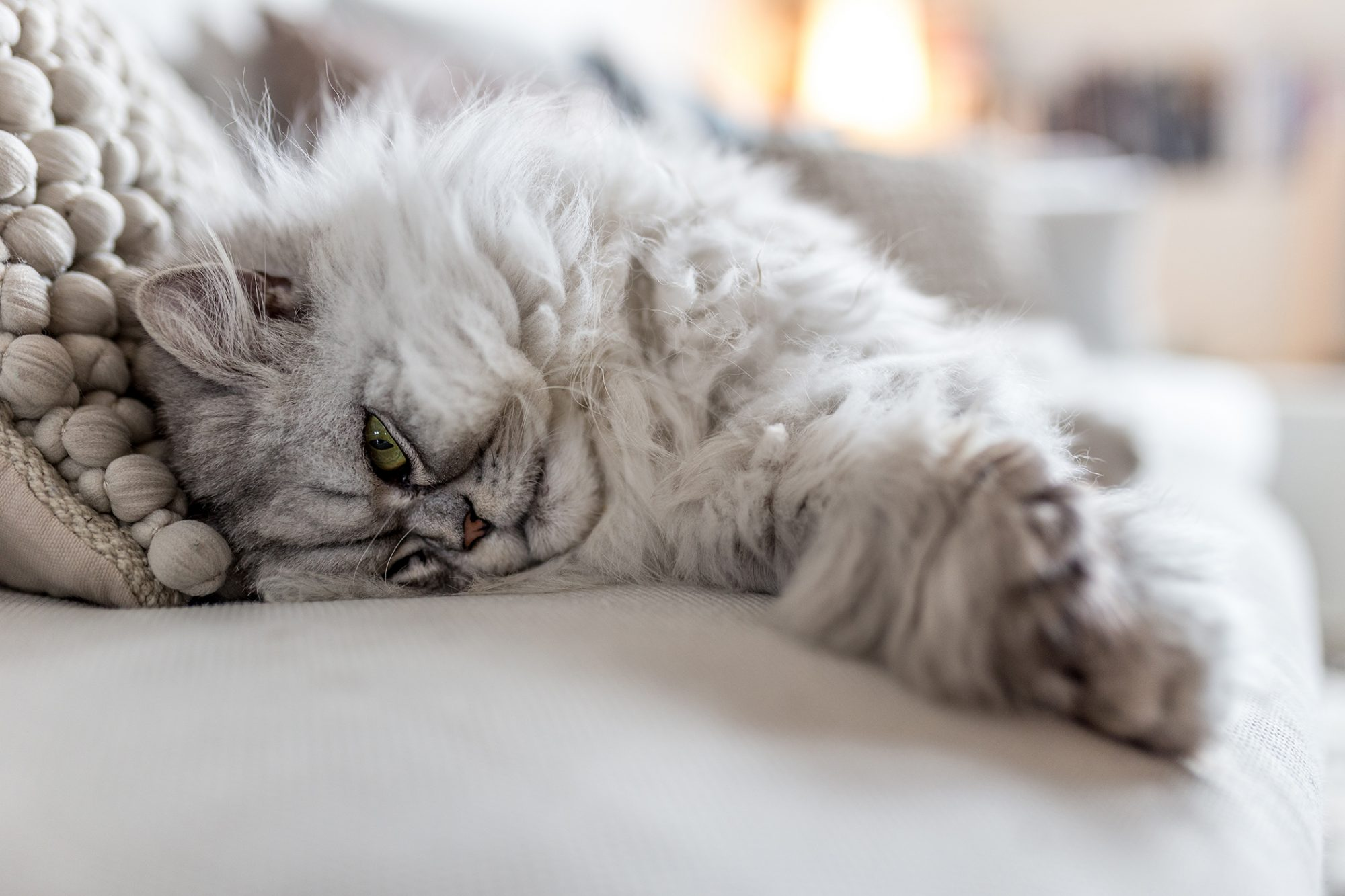 White and grey persian cat lays on white couch