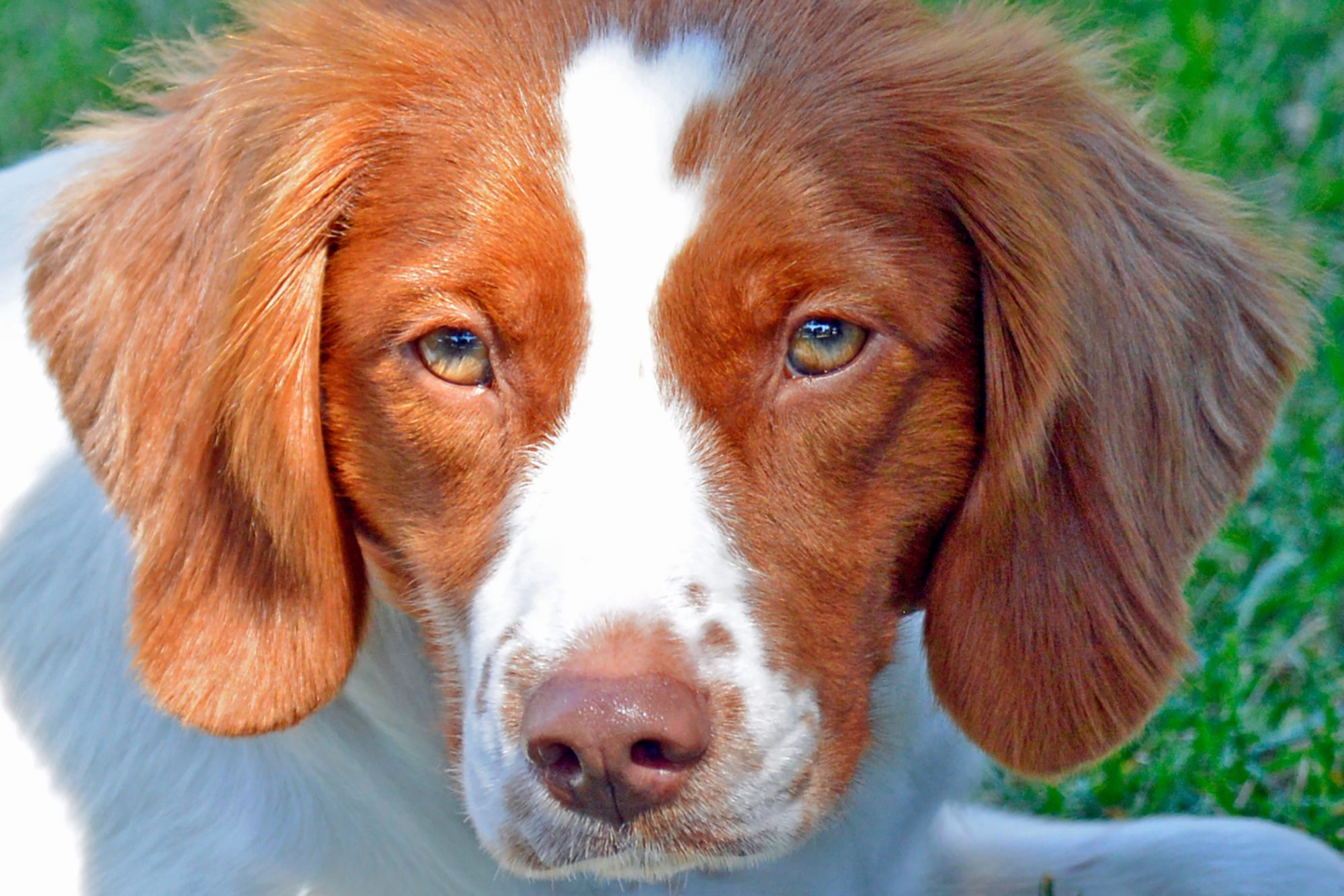 close up of a Brittany Spaniel