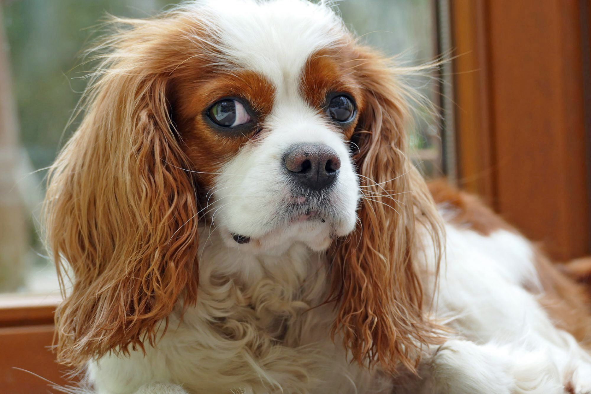 Cavalier King Charles Spaniel laying indoors