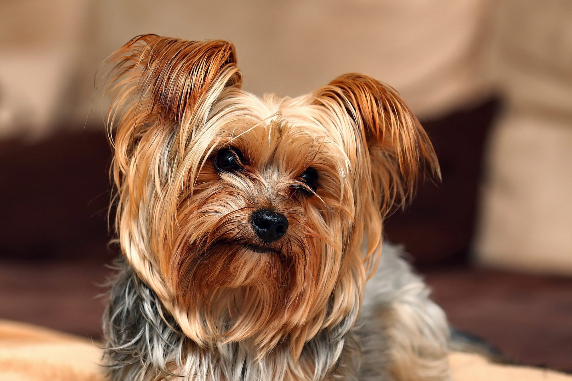 close up of tri-colored Yorkshire Terrier