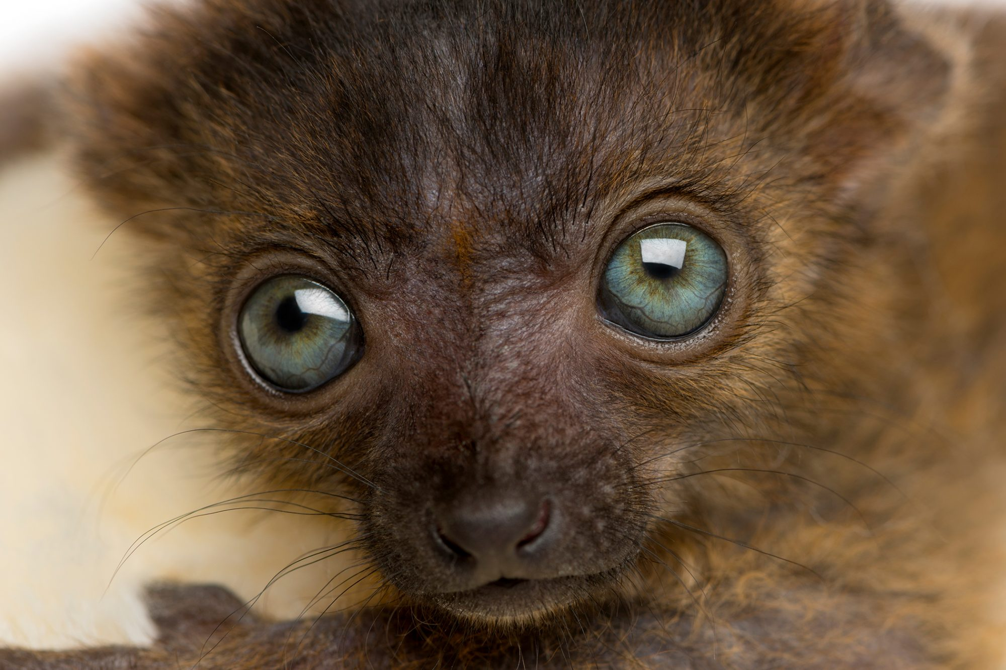 close up of a newborn lemur's face