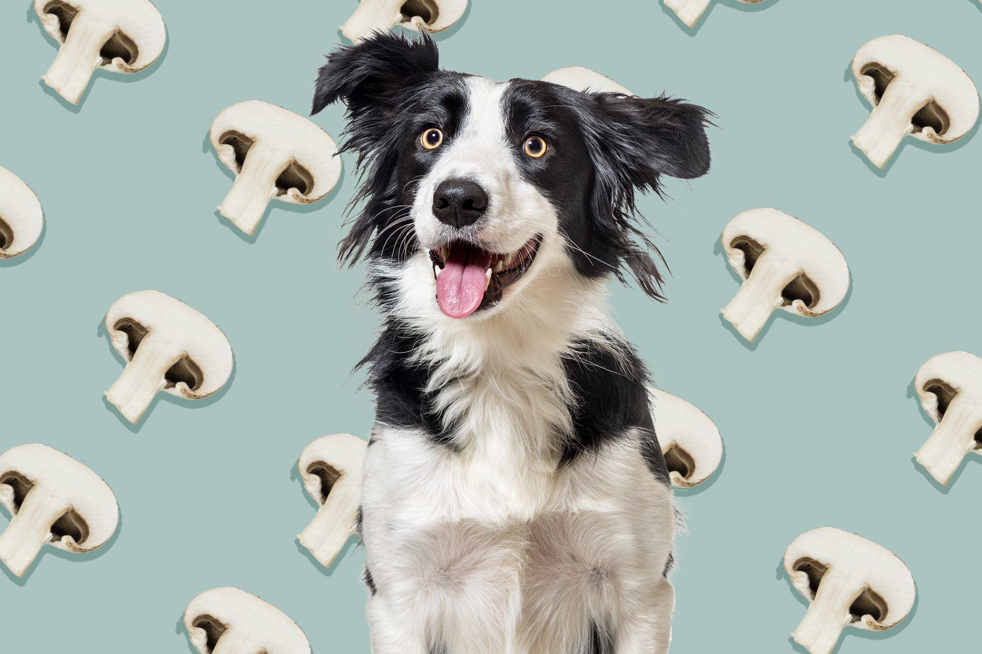 Black and white shepherd dog in front of mushroom graphic design illustration