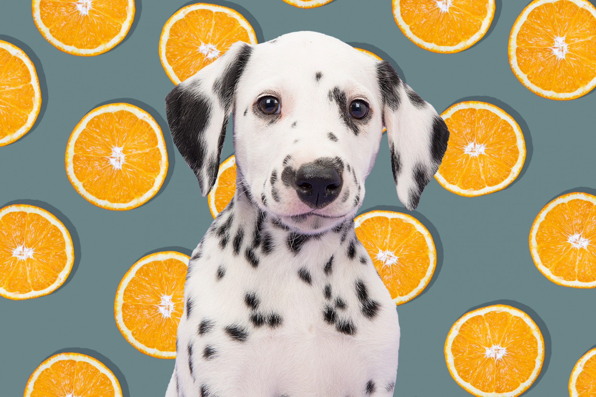 Spotted white and black puppy sits in front of tangerine illustration
