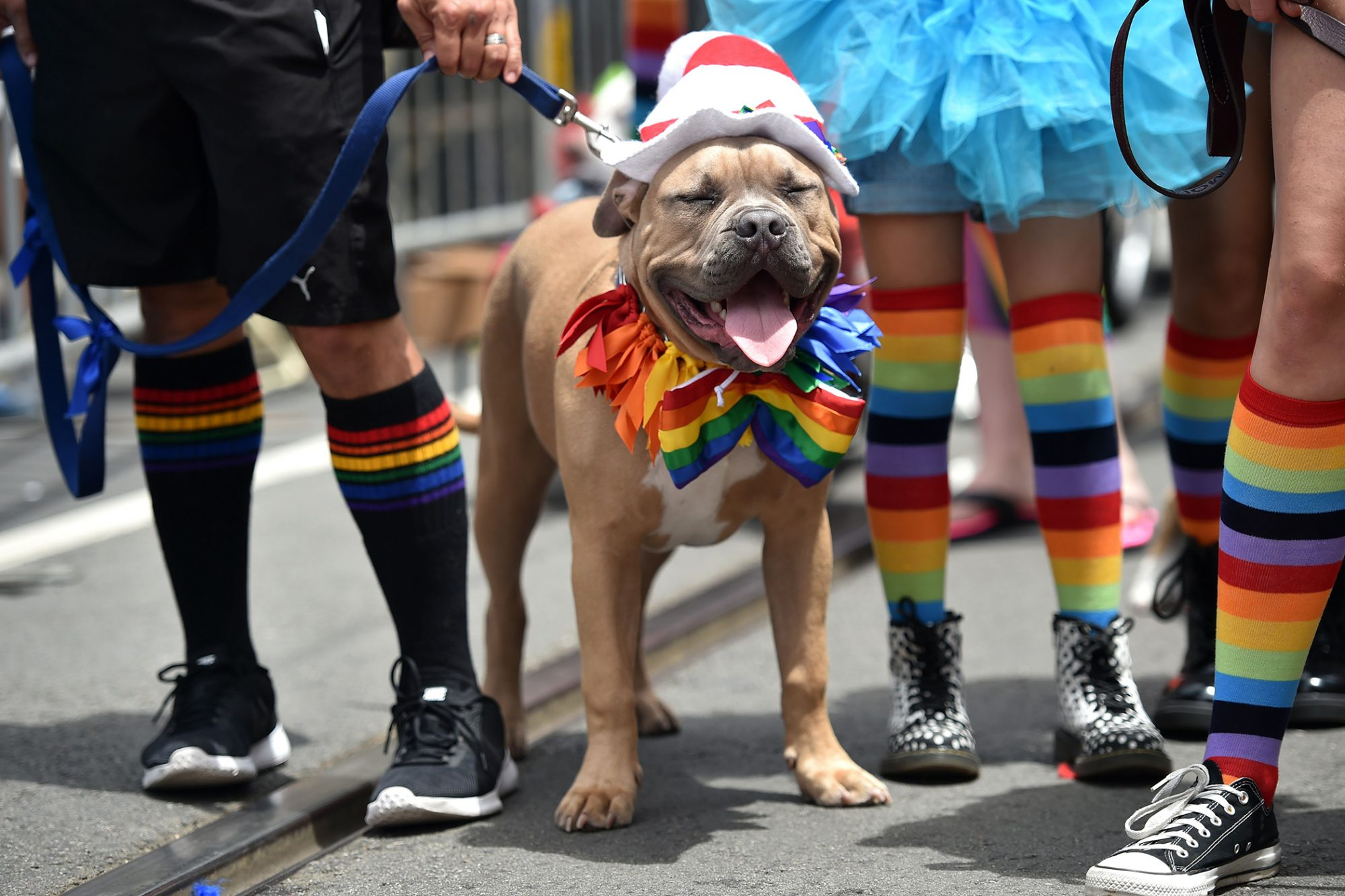 Happy Pit Bull mix wearing rainbow ribbons and a rainbow bowtie stands in street with owner during pride parade