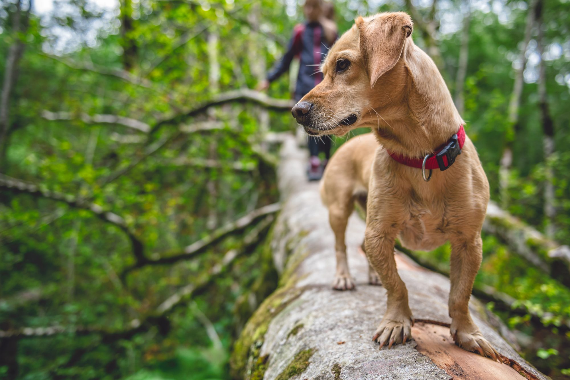 Tan terrier mix walks across fallen tree
