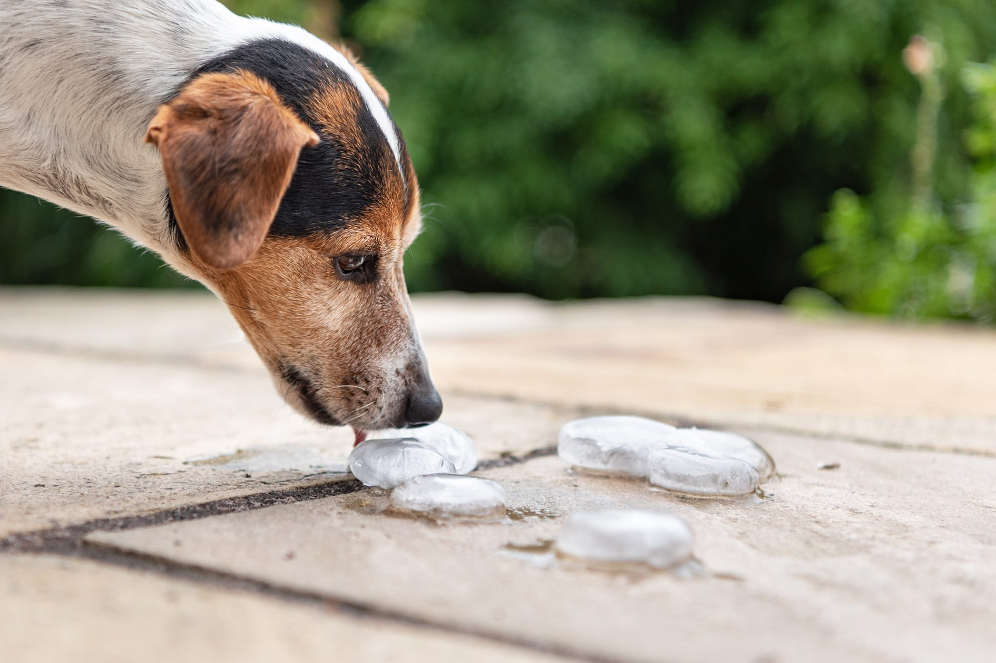 Adult jack russell terrier licks ice cube on pavement