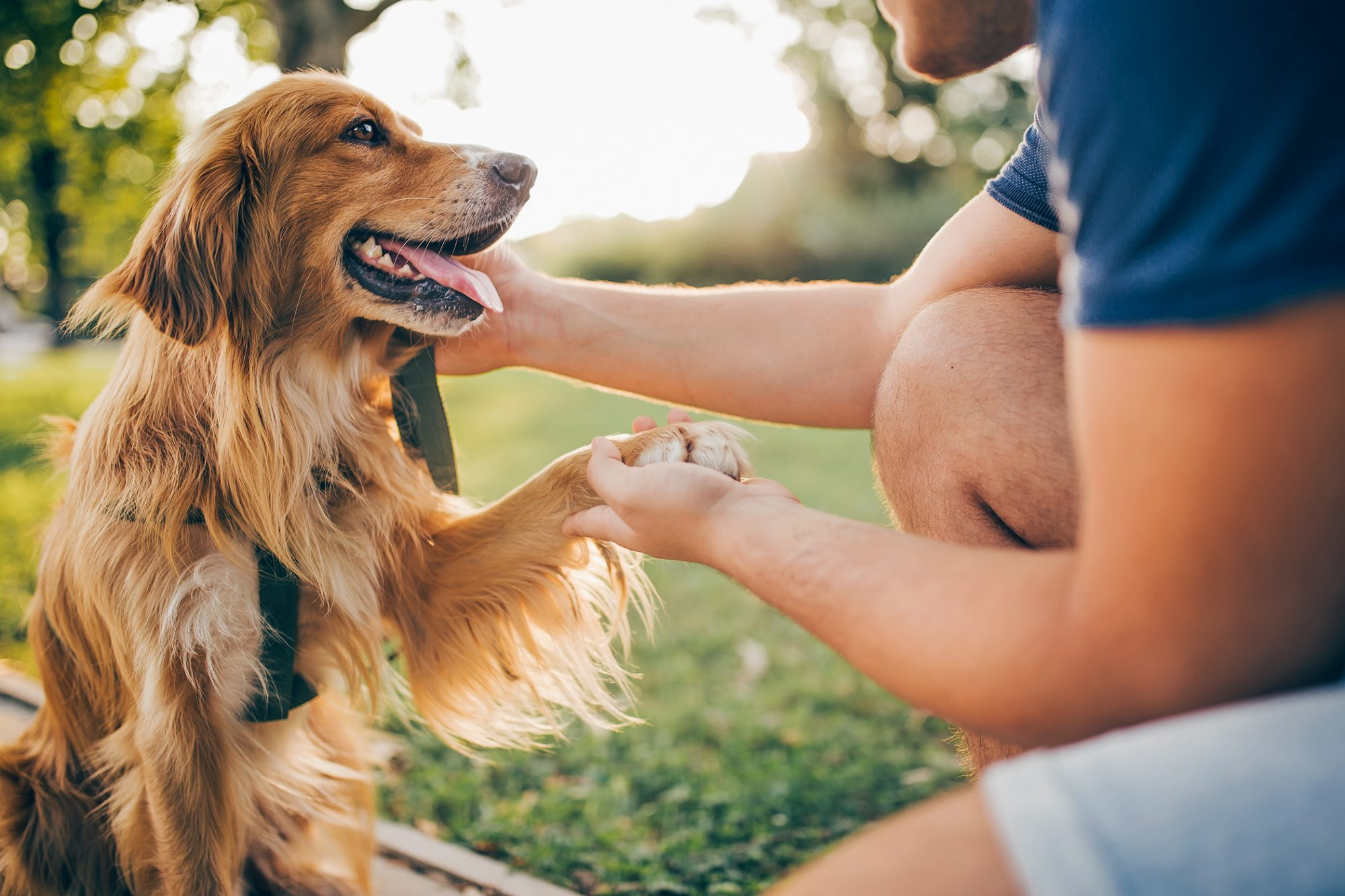 Adult man shakes his golden retriever's paw outdoors