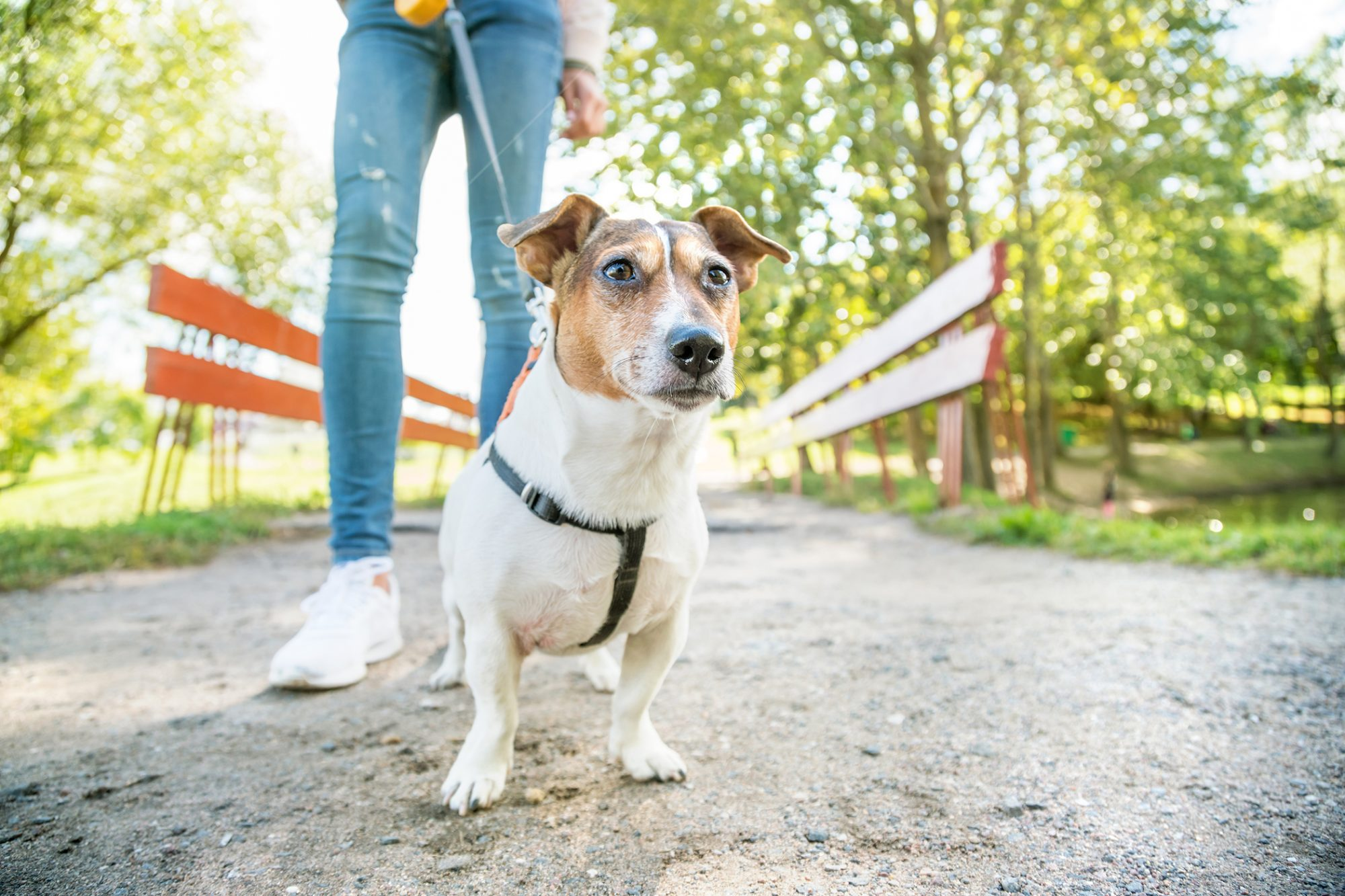 Girl walks white short-haired terrier on park path