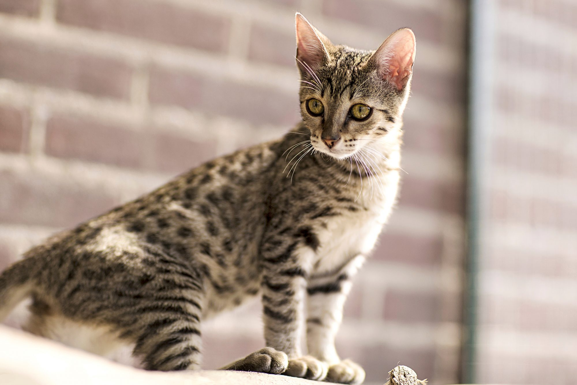 Cream and black Savannah kitty sits in front of brick wall