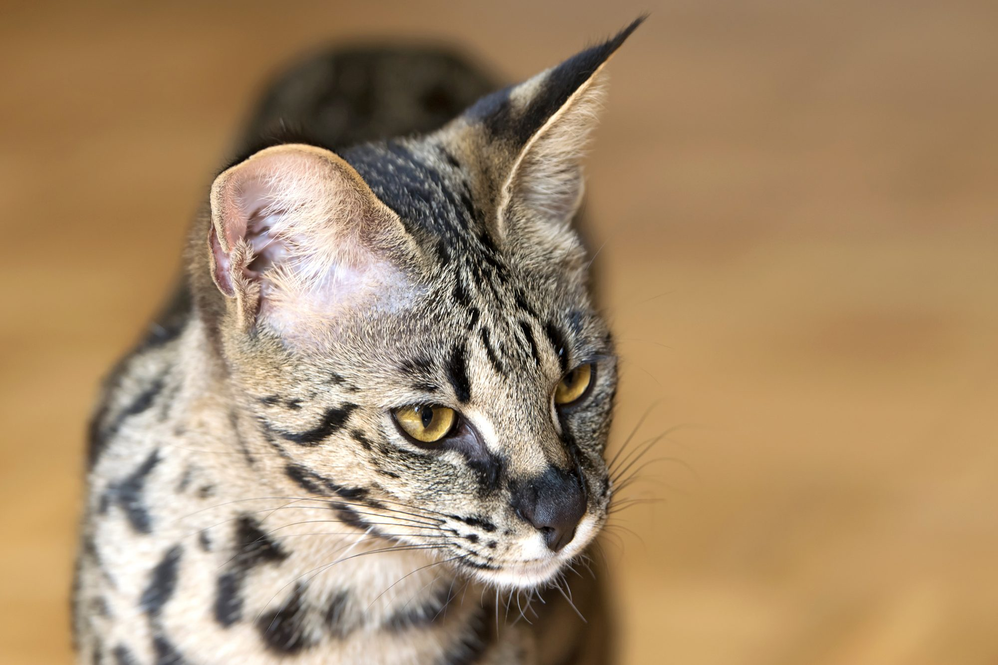 Portrait of Savannah cat with yellow eyes in front of tan background