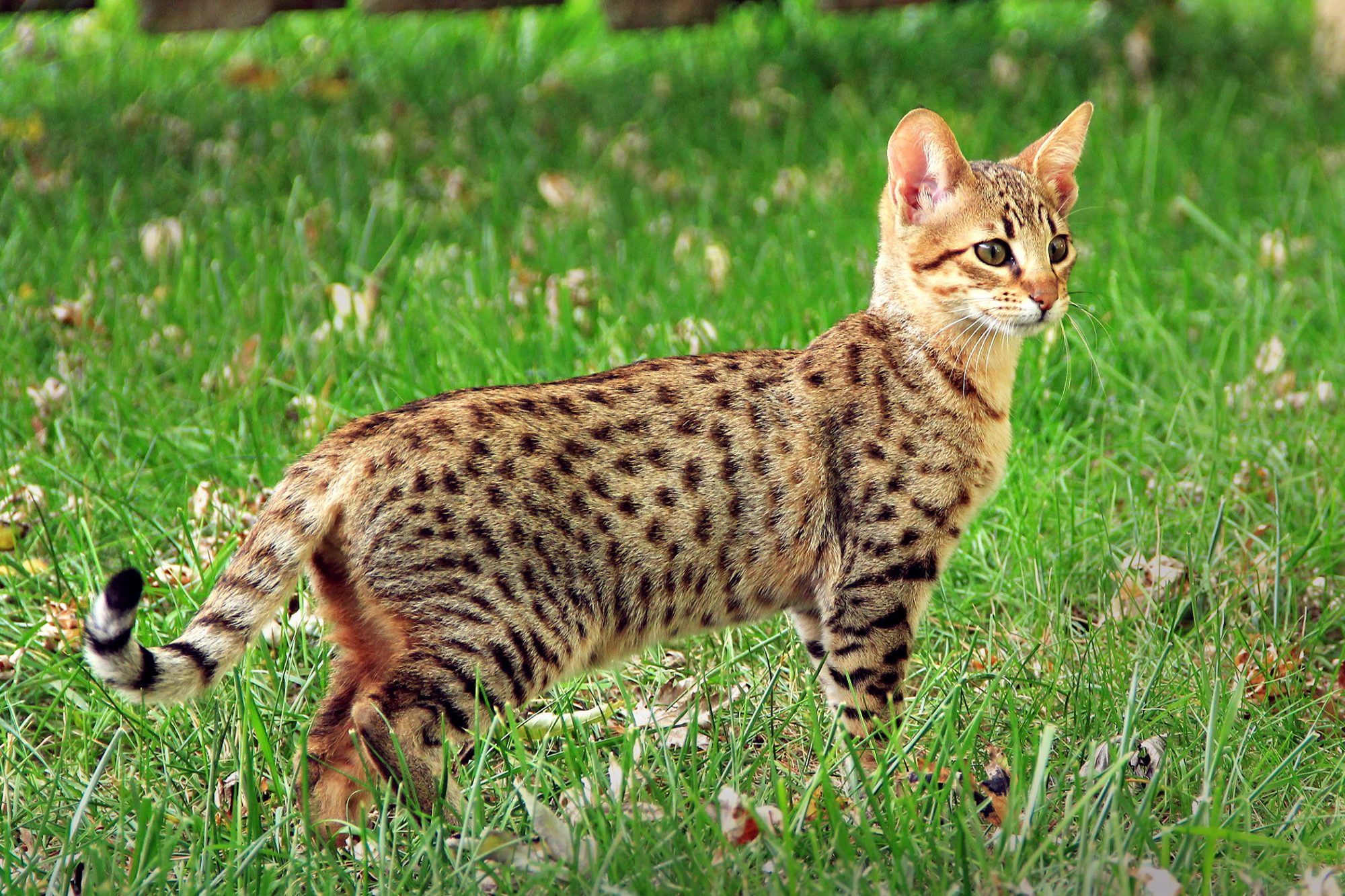 Savannah cat stands inquisitively in grass