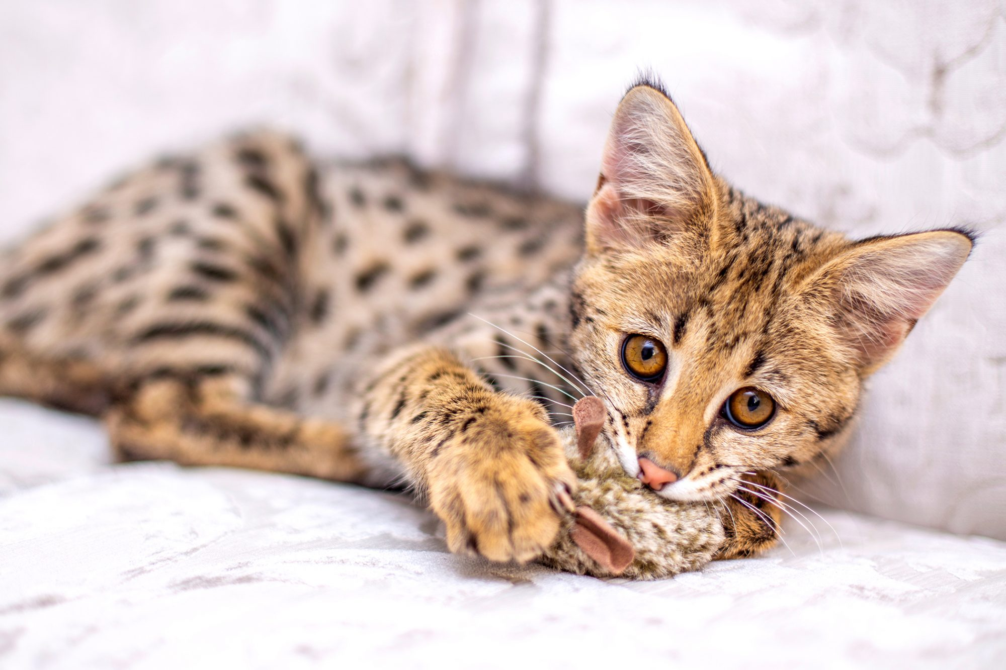 Golden Savannah kitty plays with fluffy toy on couch