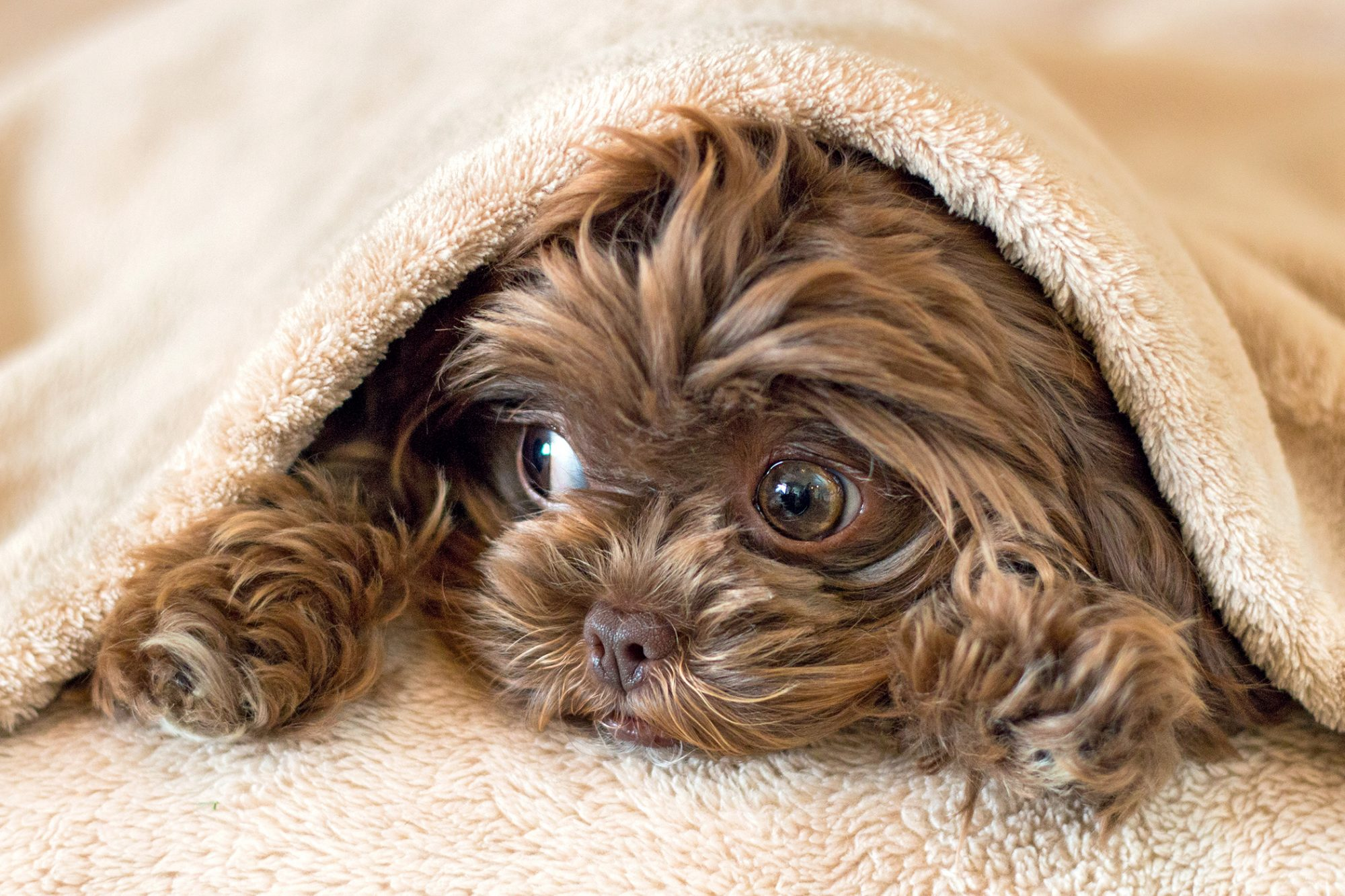 Curly brown shih-poo hides under tan blanket