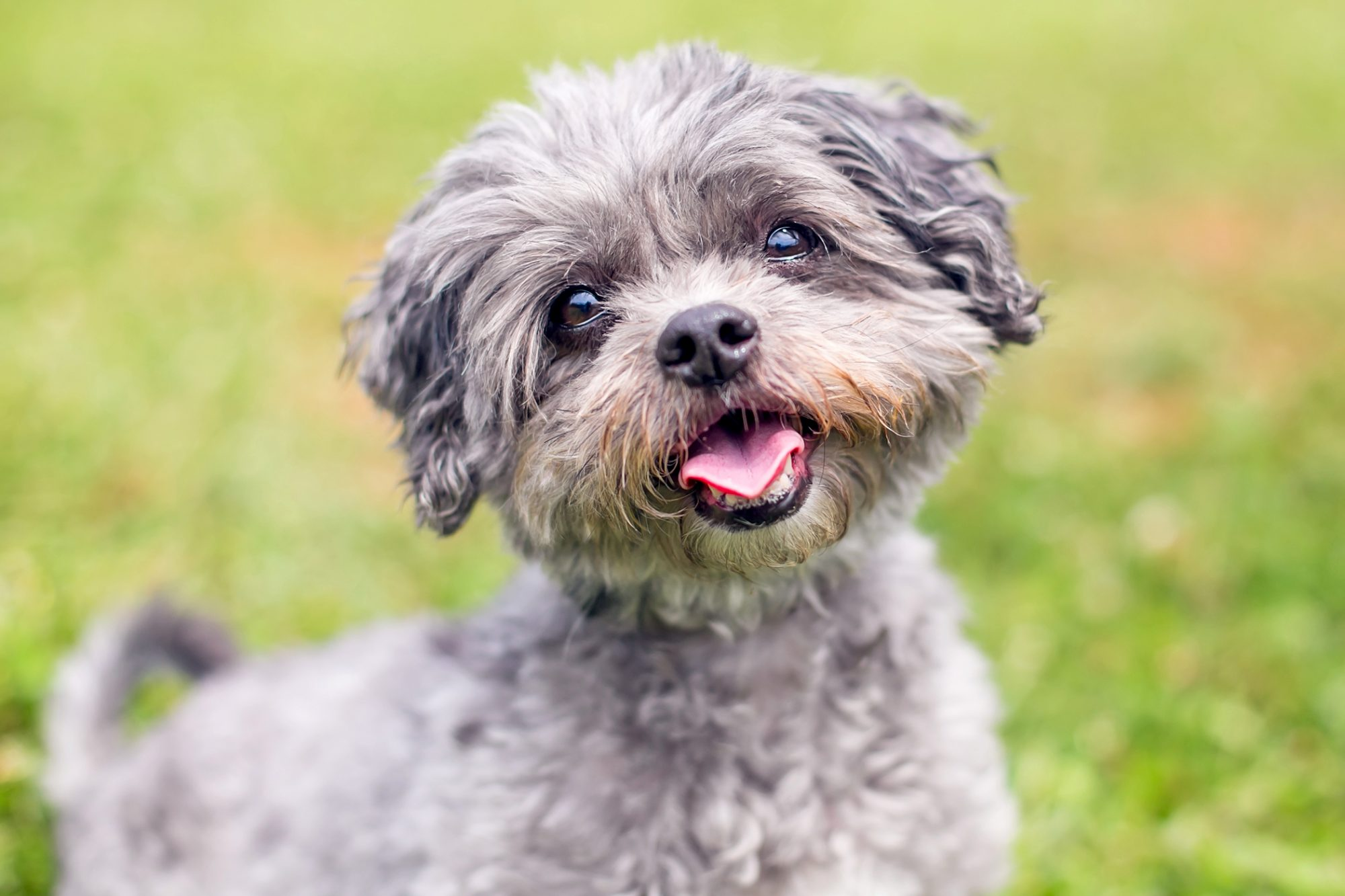 Grey curly shih-poo puppy happily sits outdoors