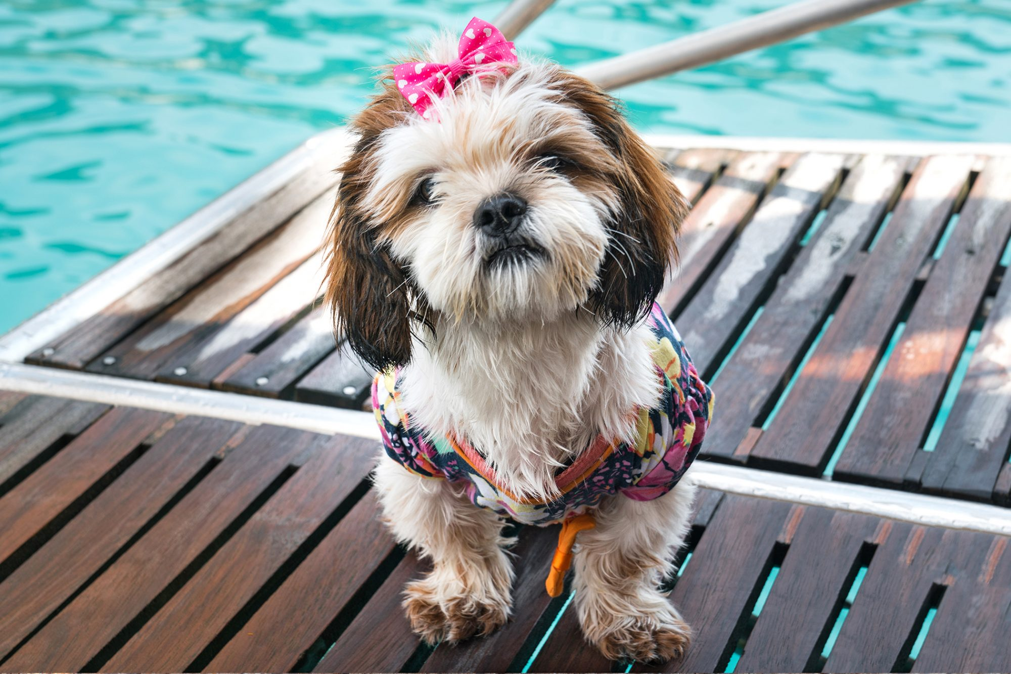 White shih-poo with brown ears sits near pool facing camera