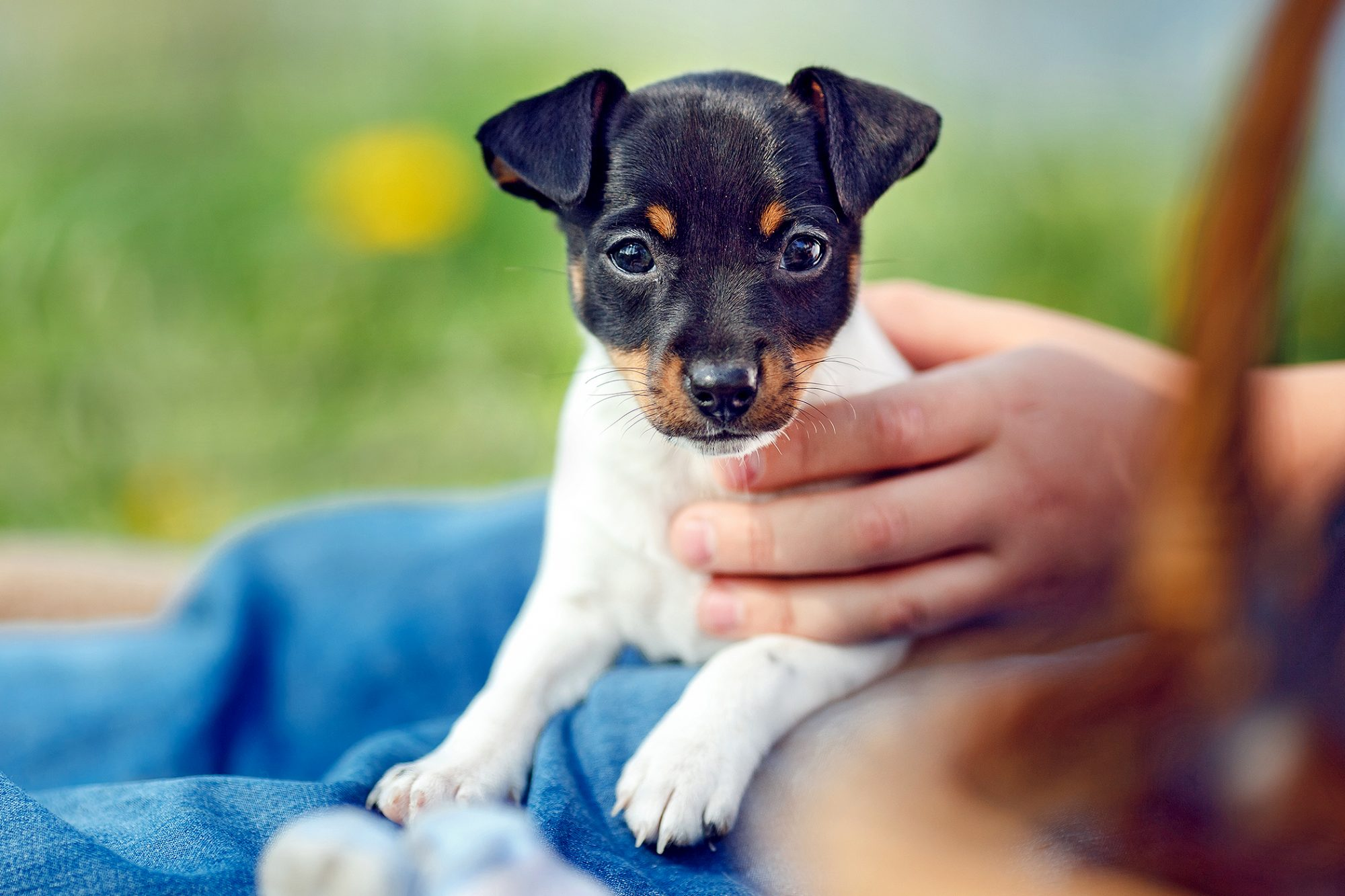 Toy fox terrier puppy relaxes on lap of someone wearing jeans