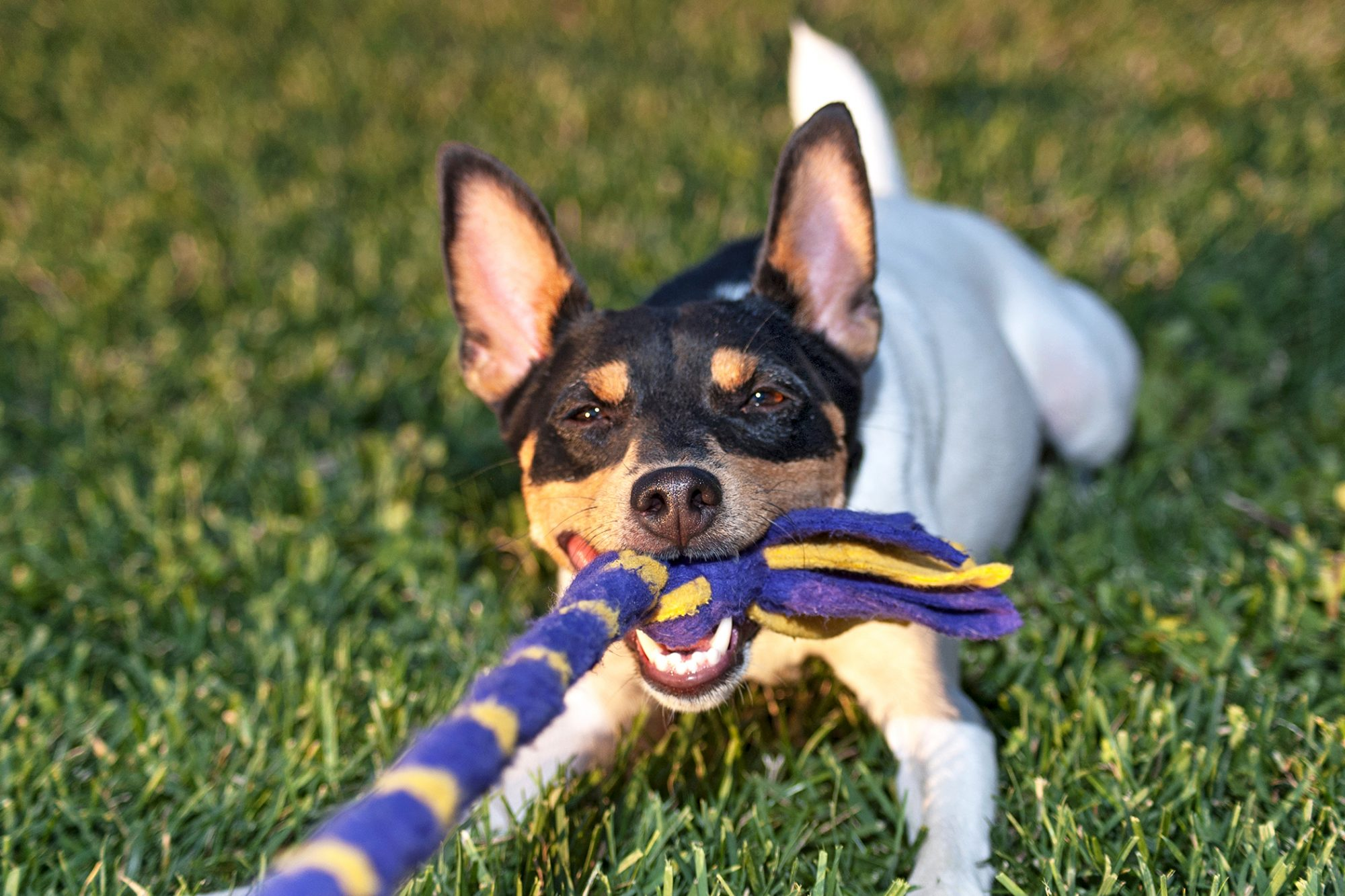Toy fox terrier plays tug of war in grass with purple and yellow rope