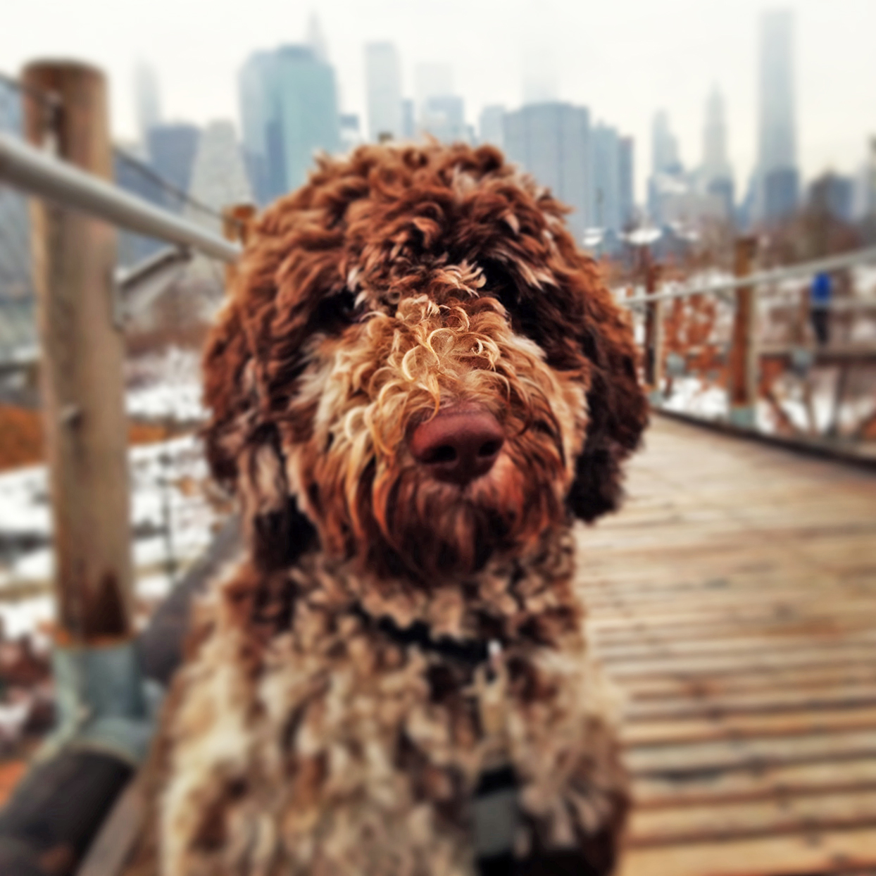 Brown whoodle sits on a wooden bridge in a city