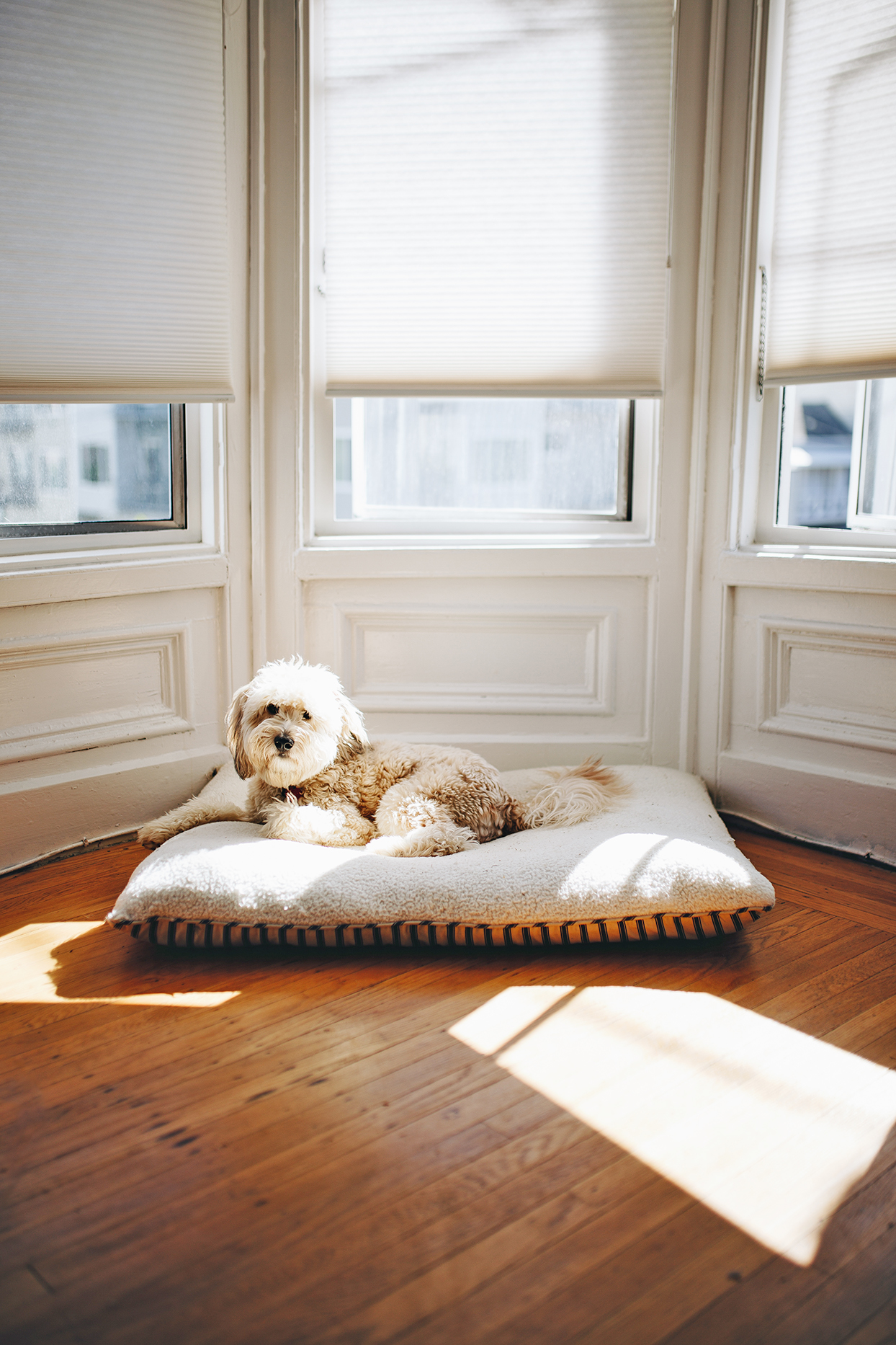 Adult blonde whoodle lays on dog bed on wooden floor below windows