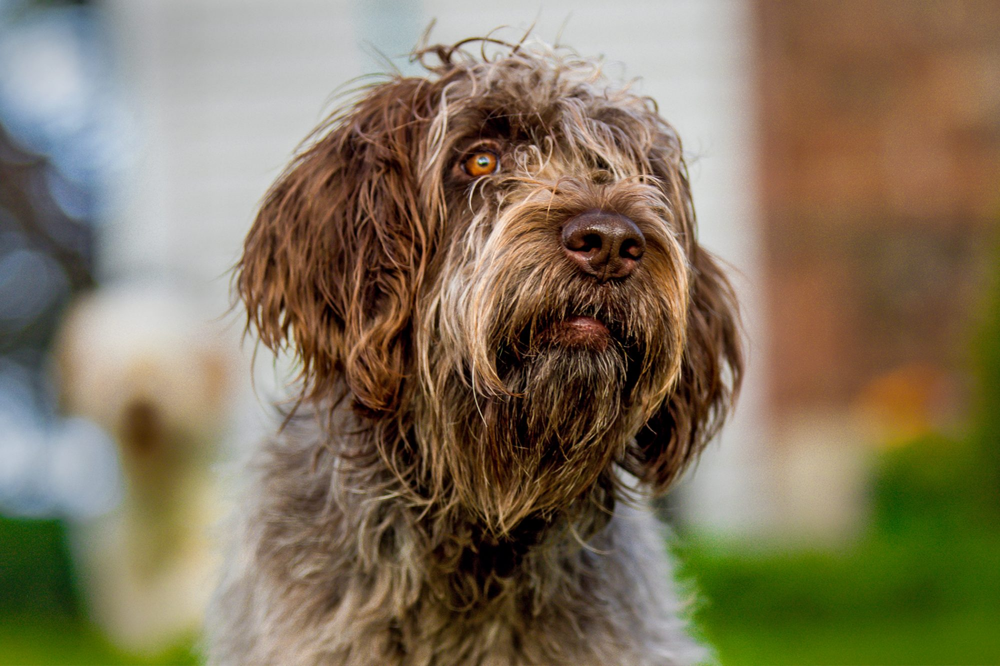 Shaggy brown wirehaired pointing griffon porrait with brick wall in blurred background