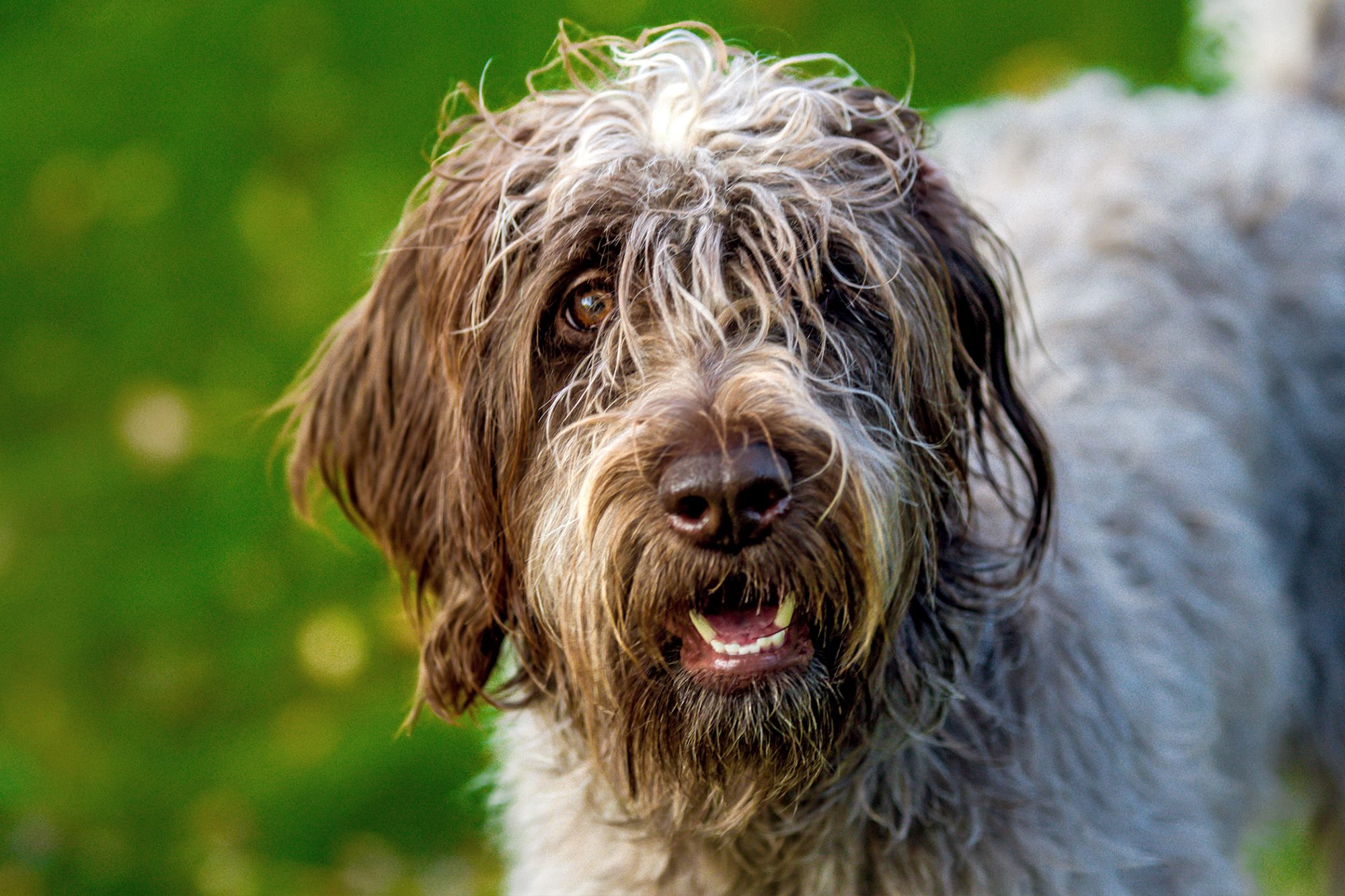 Profile shot of wirehaired pointer griffon with grass in background