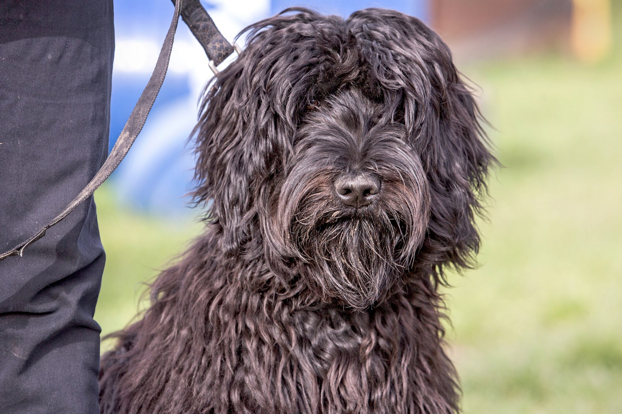 Dark brown wirehaired pointing griffon sitting while on a leash