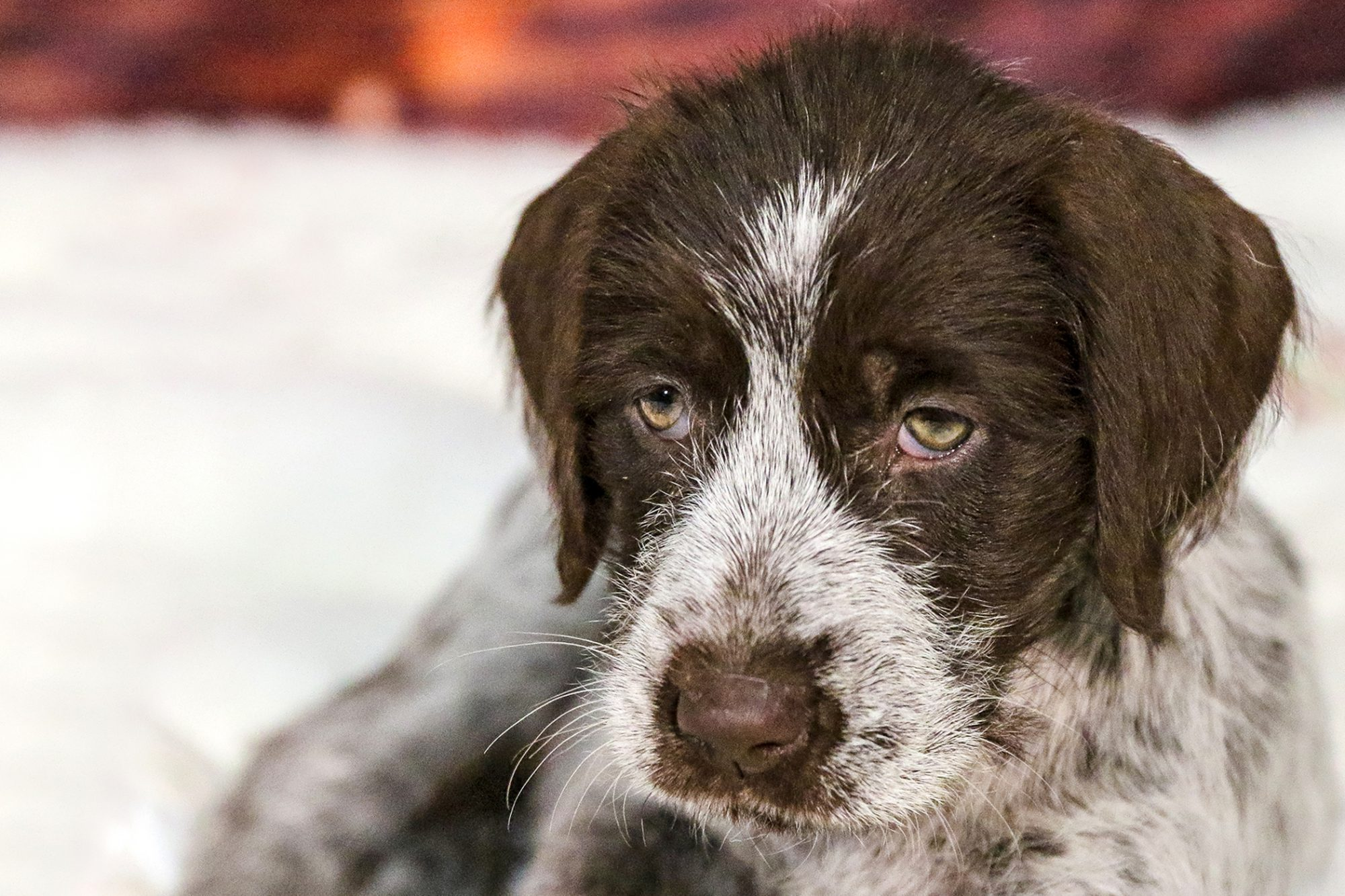 Wirehaired pointing griffon puppy portrait