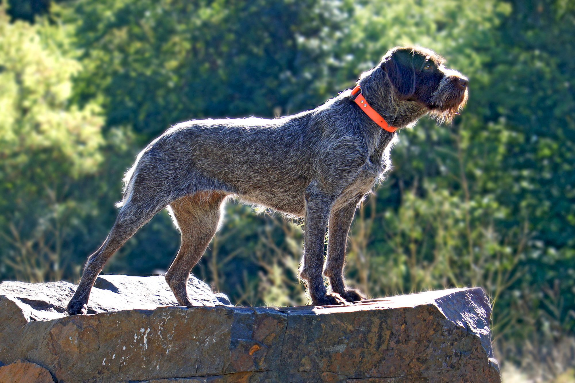 Medium shot of wirehaired pointing griffon standing on rock