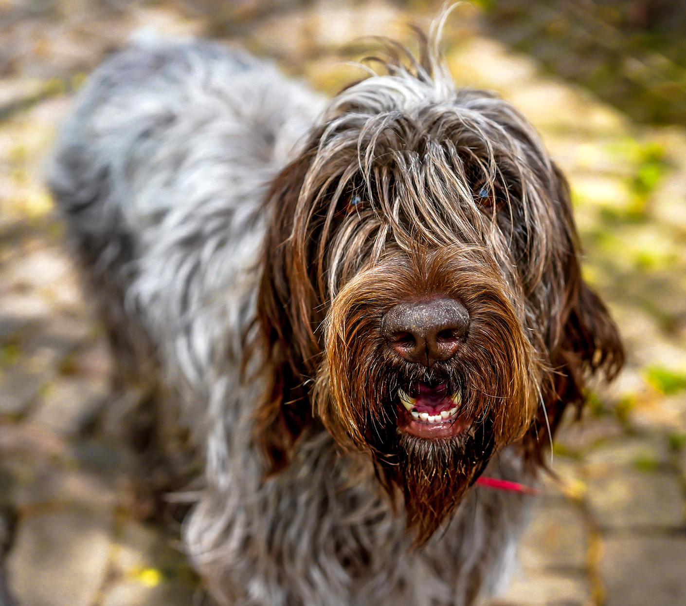 Profile of brown and grey wirehaired pointing griffon