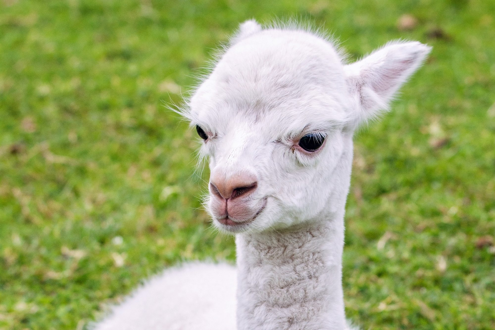 white baby alpaca head shot