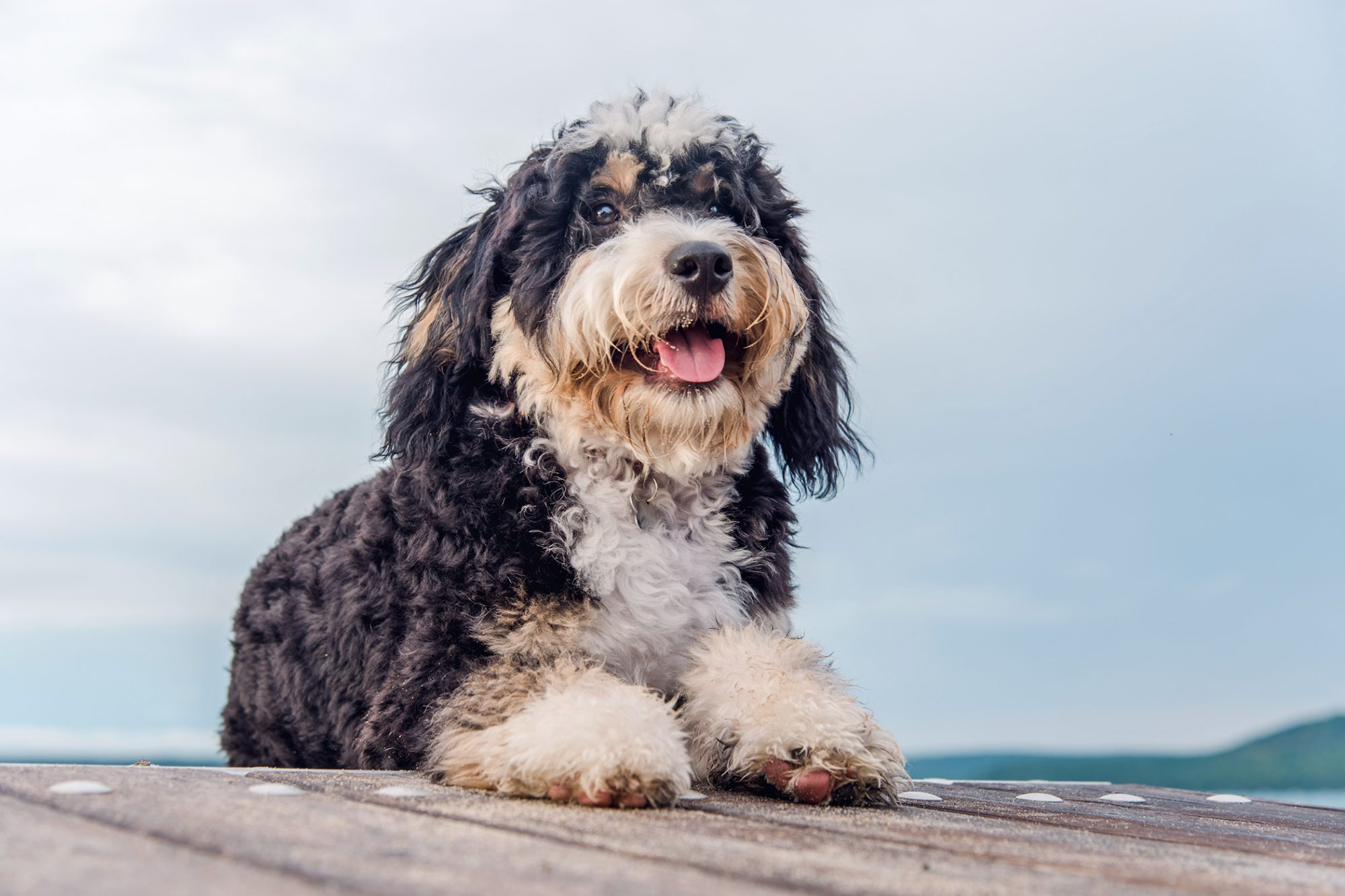 Black, tan, and white Bernedoodle on dock