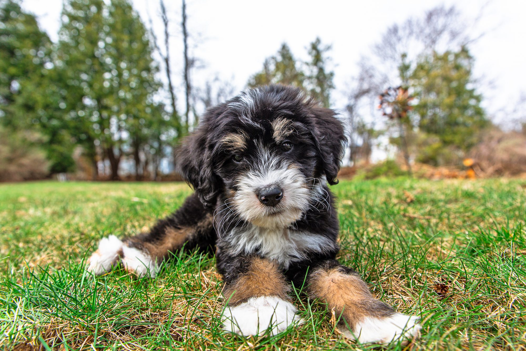 Black, tan, and white Bernedoodle on grass