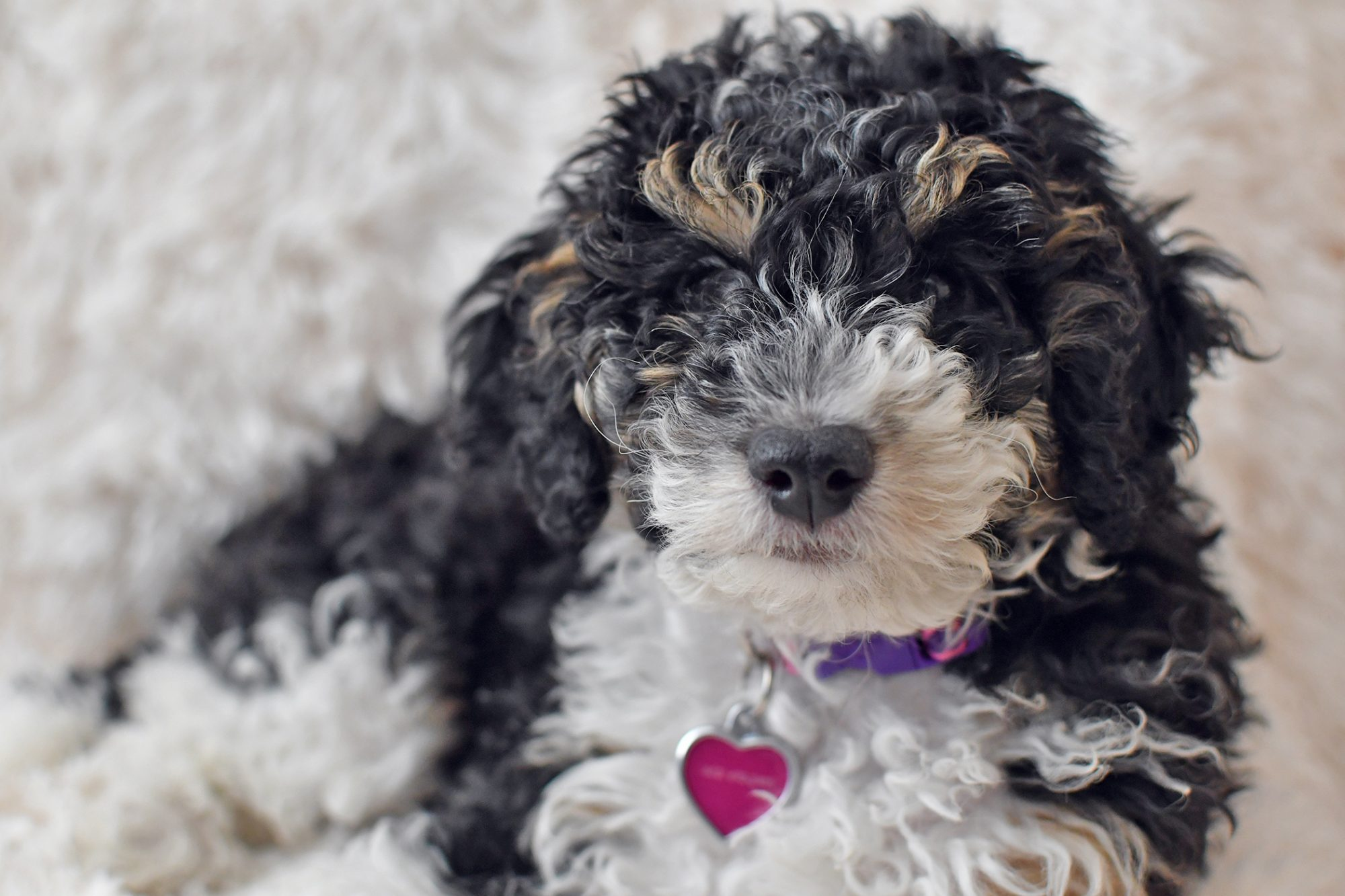 Black, tan, and white Bernedoodle on white rug