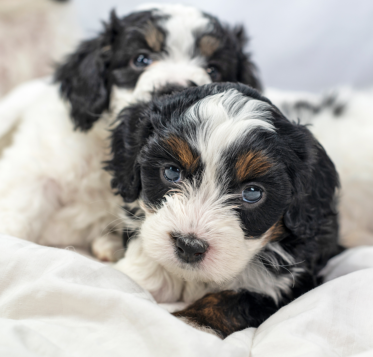 two Bernedoodle puppies on white bed