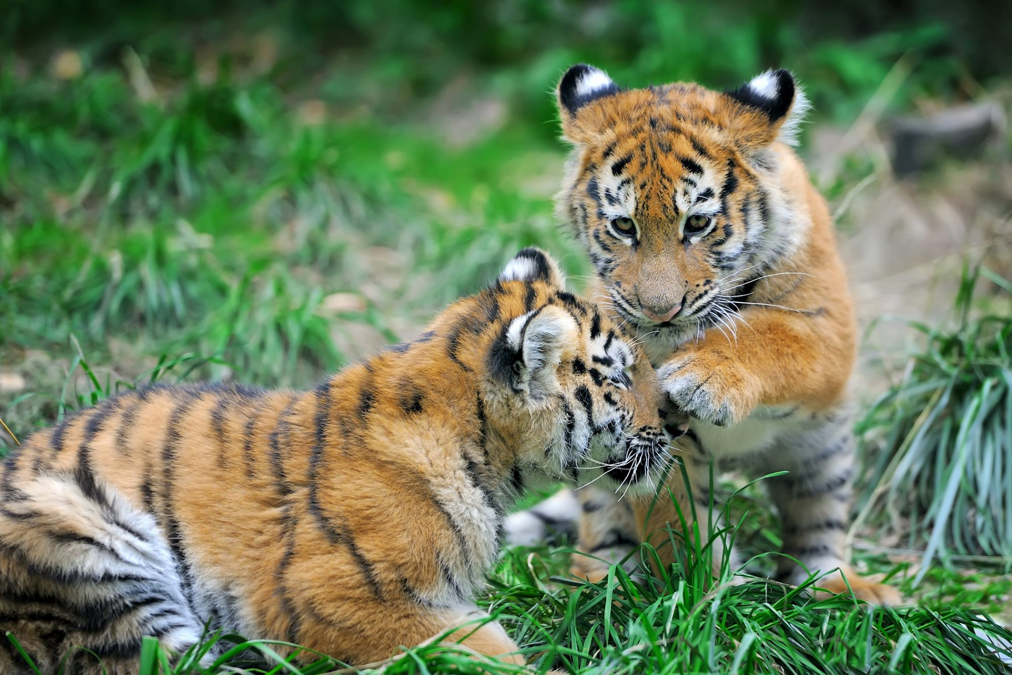 two tiger cubs playing together