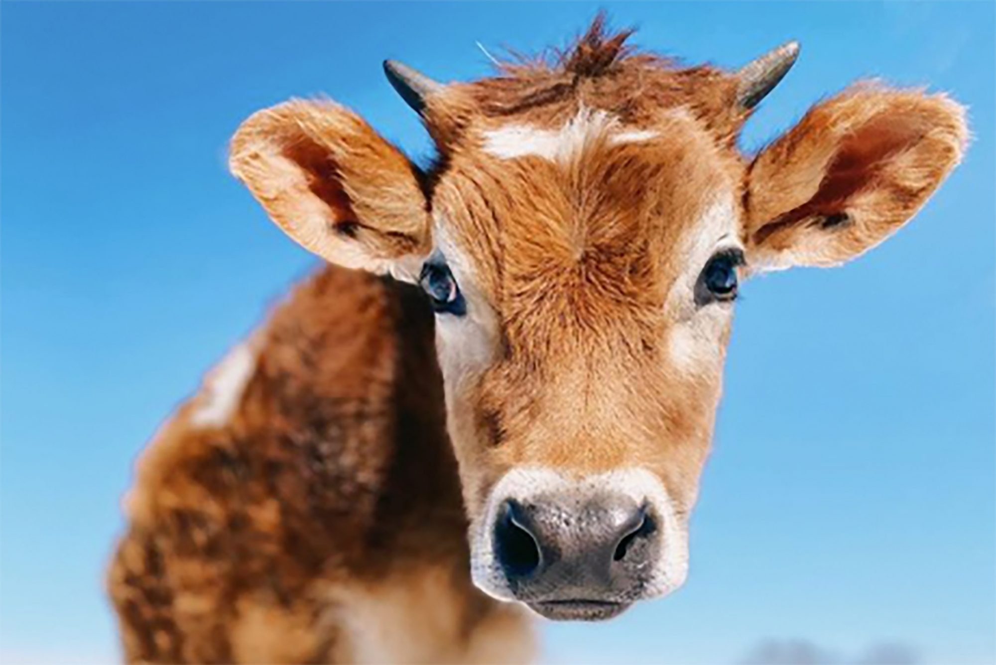 Headshot of tan calf against blue sky