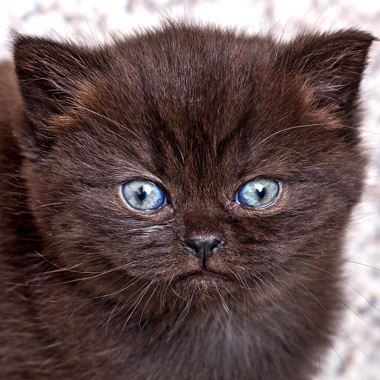 Close-up of dark brown British Shorthair kitty with blue eyes